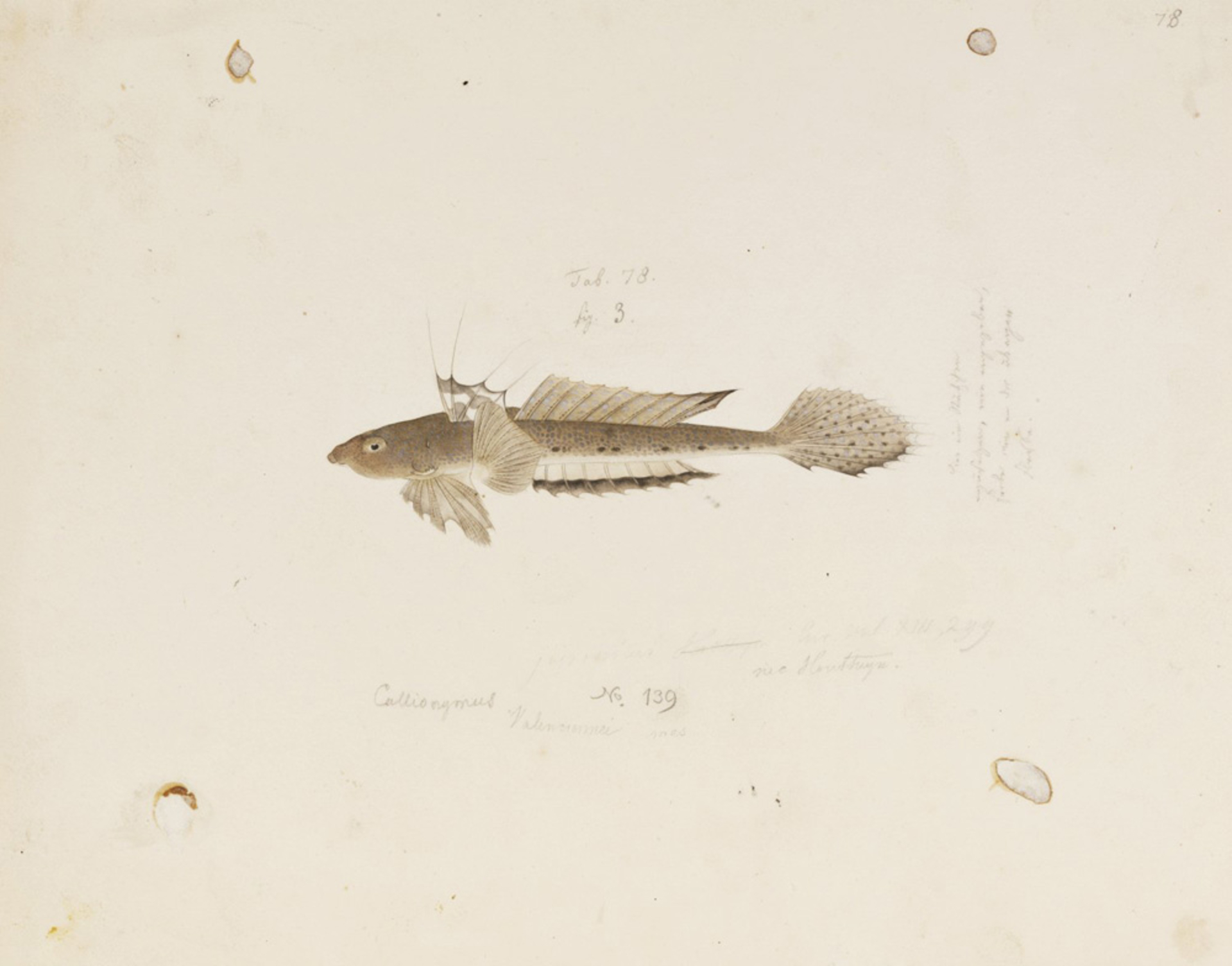 RMNH.ART.815 | Callionymus valenciennei