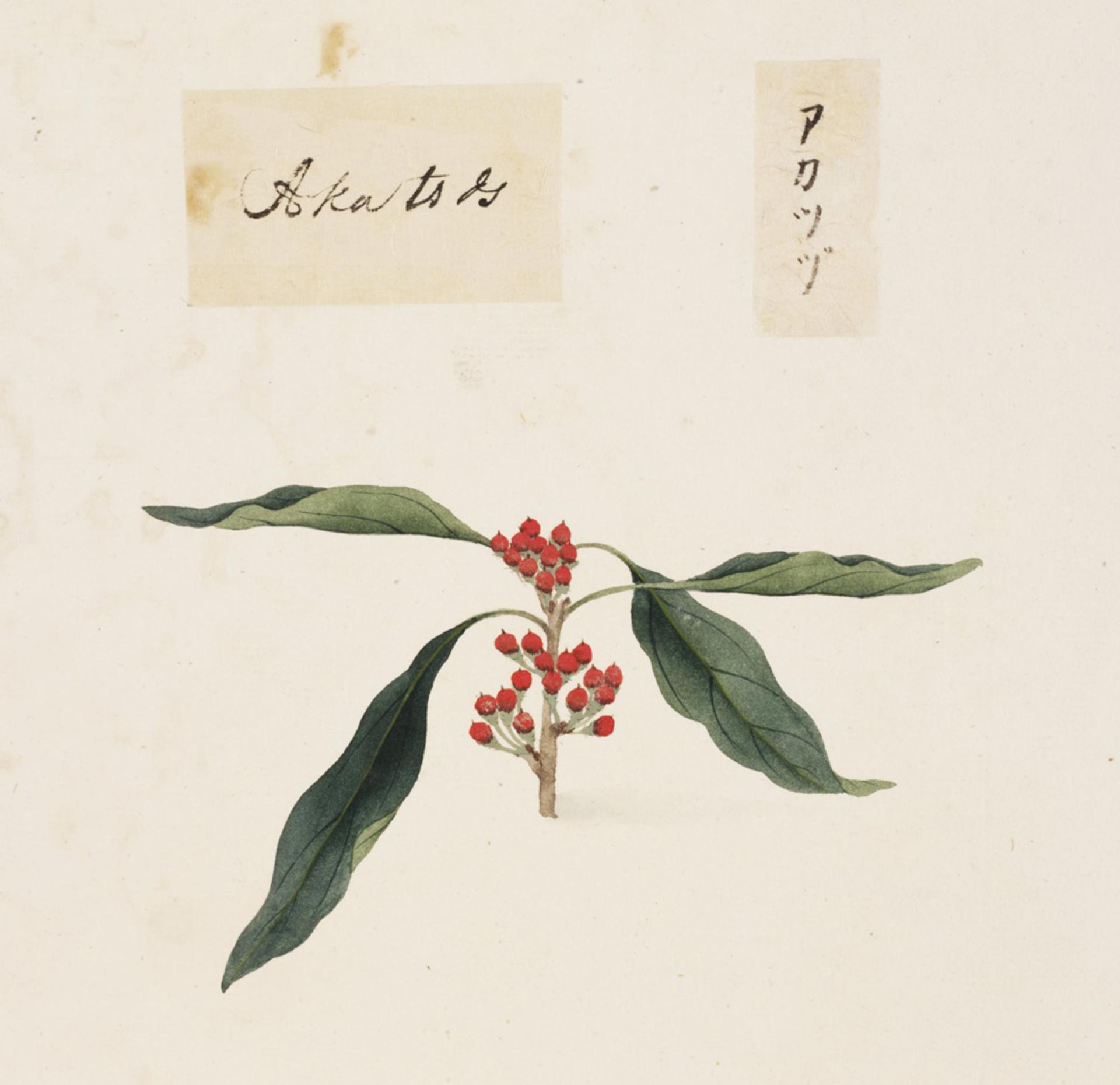 RMNH.ART.817 | Sapindus mukurossi