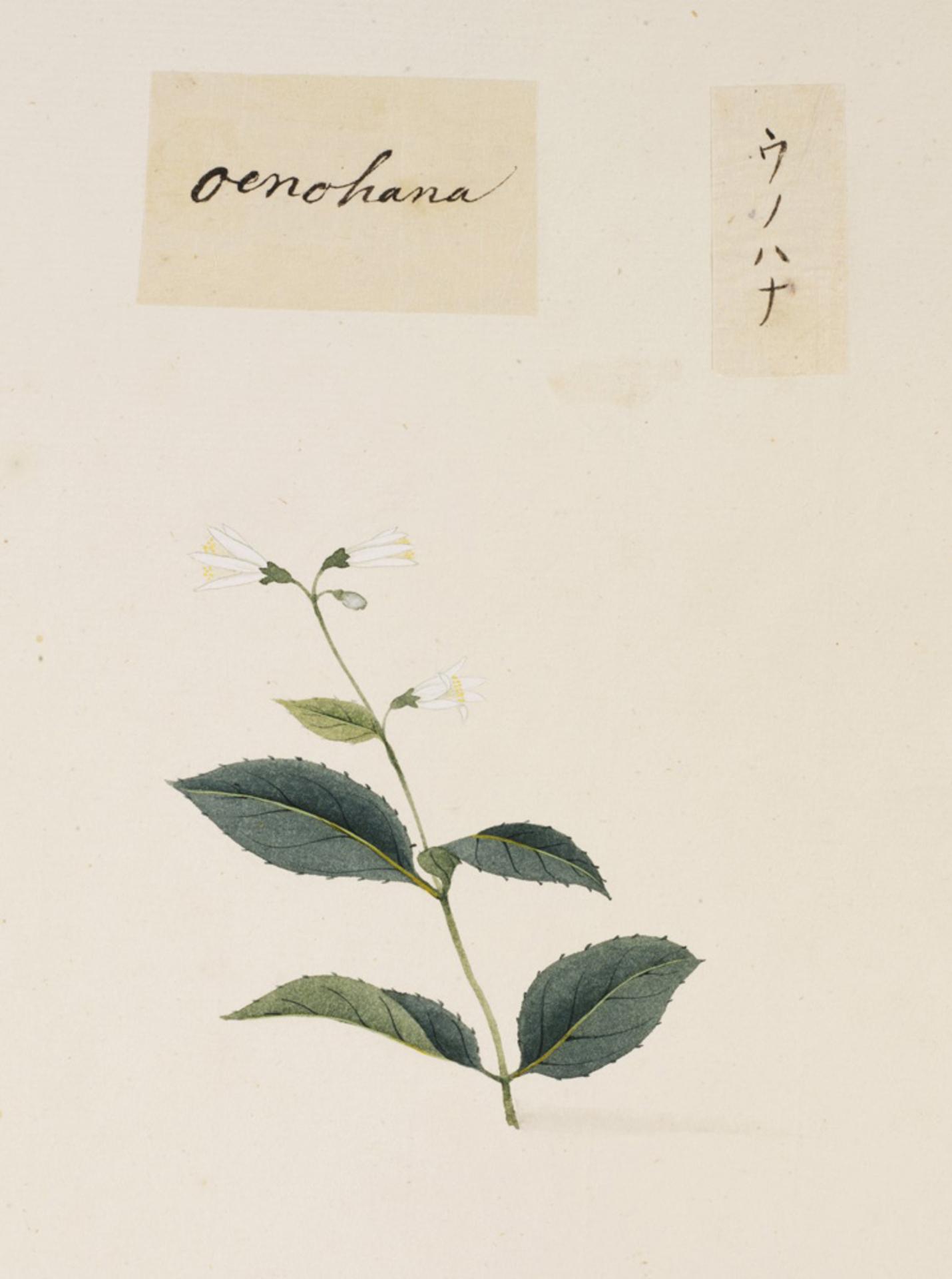 RMNH.ART.818 | Deutzia crenata