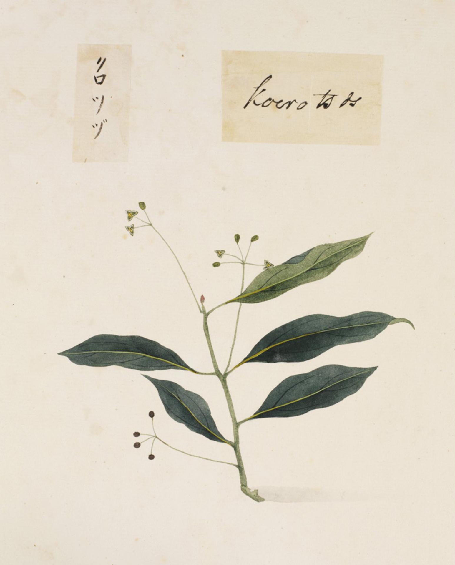 RMNH.ART.819 | Sapindus mukurossi