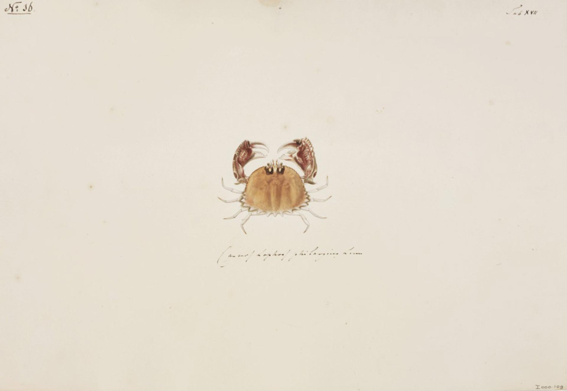RMNH.ART.82 | Calappa philargius