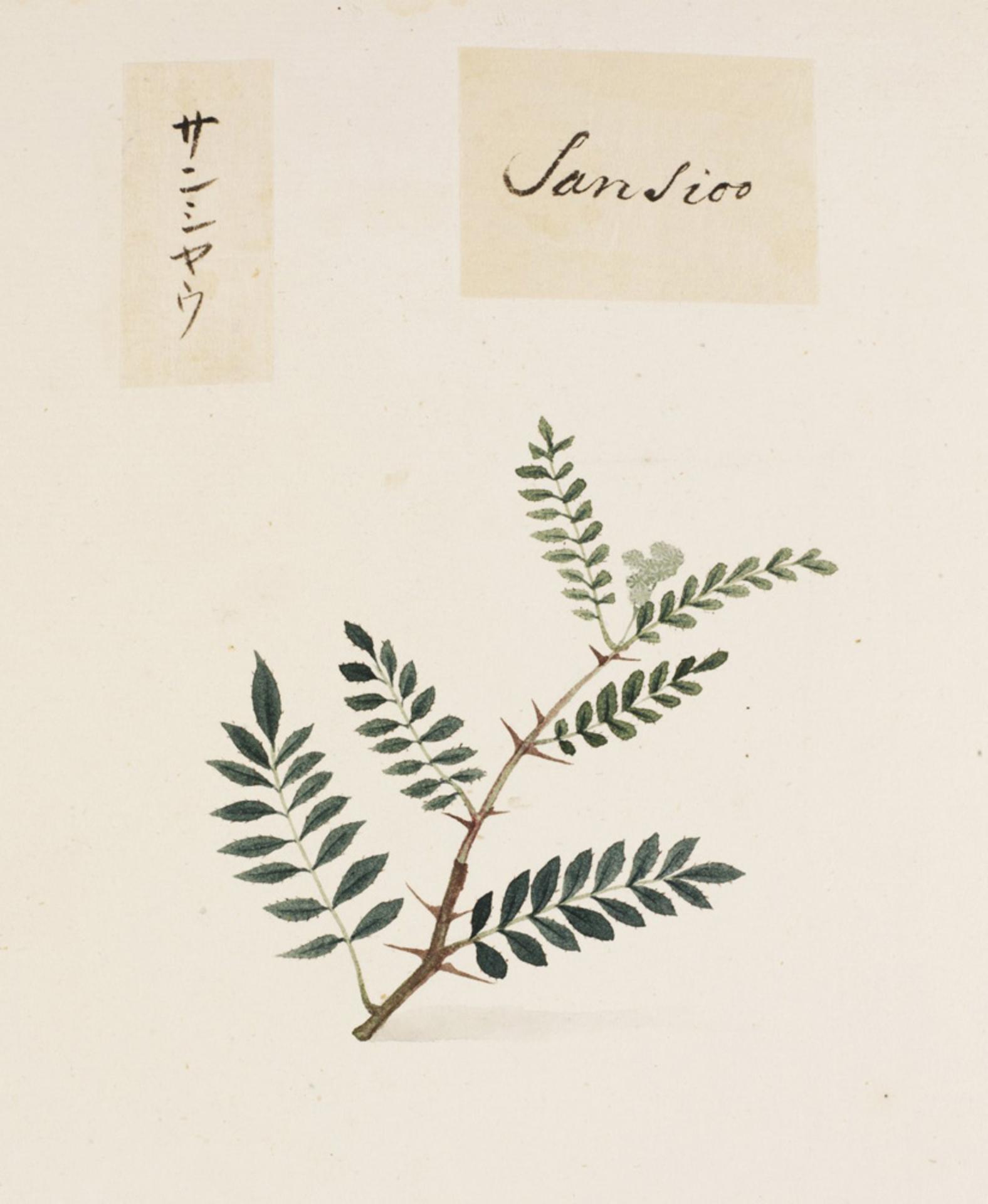 RMNH.ART.820 | Zanthoxylum piperitum