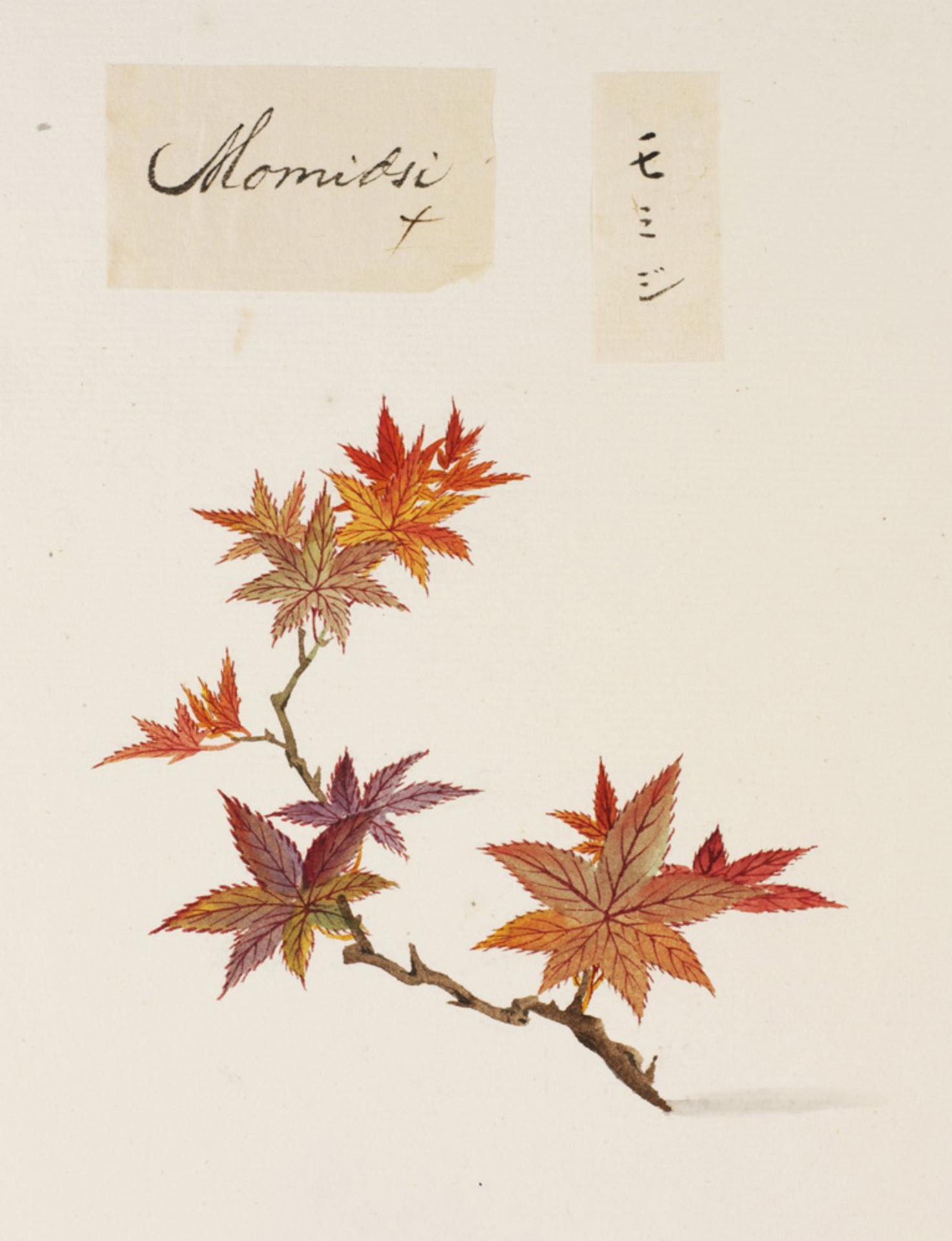 RMNH.ART.822 | Acer palmatum