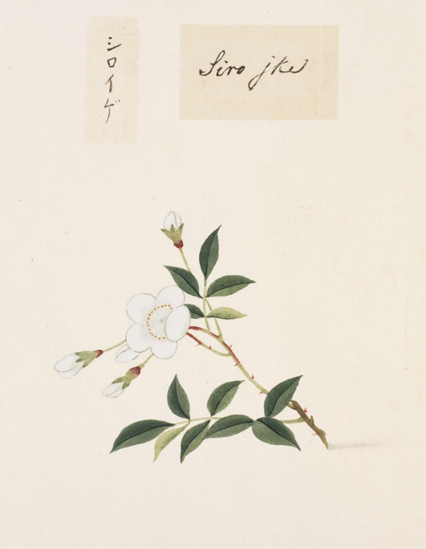 RMNH.ART.823 | Rosa multiflora