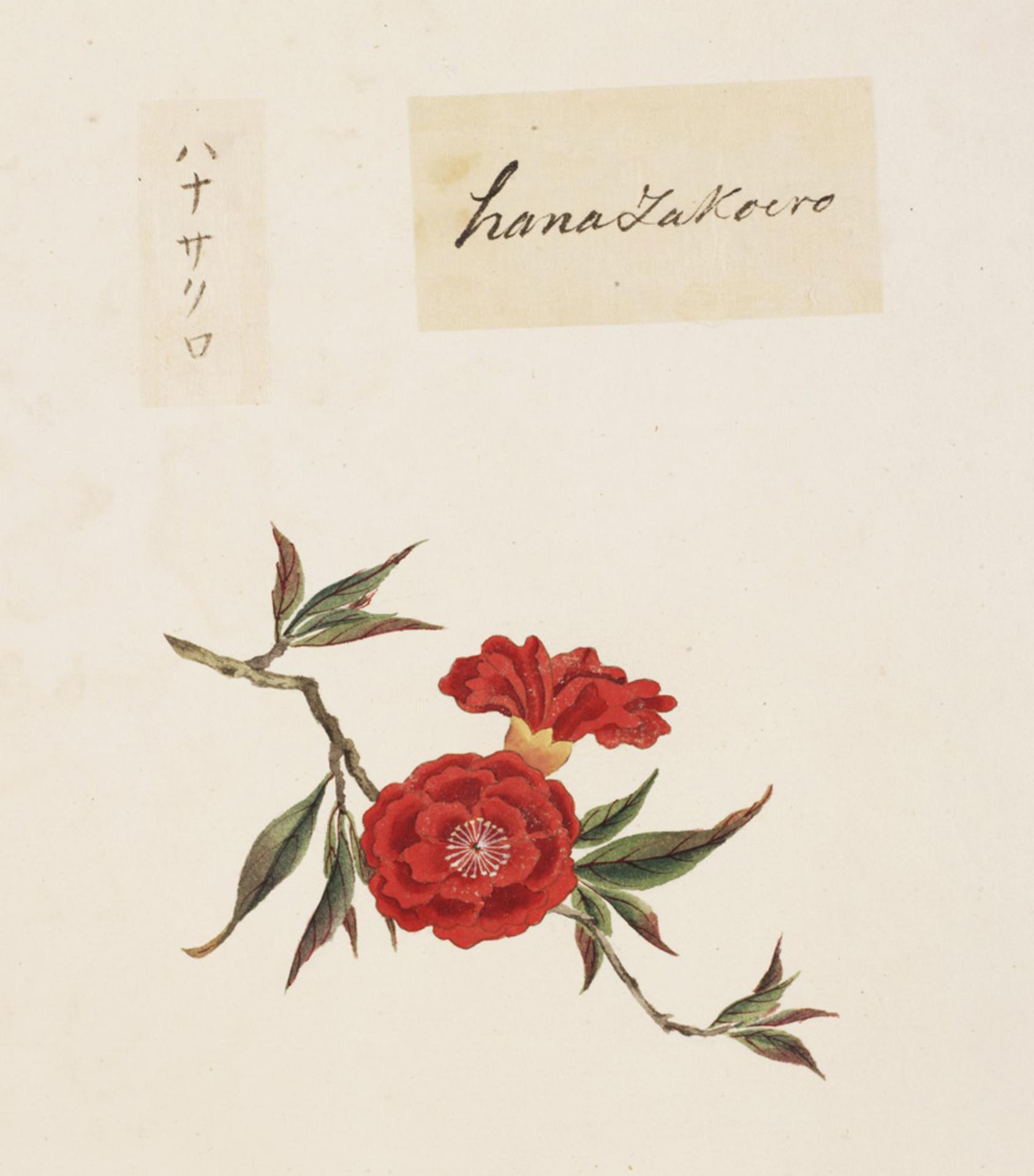 RMNH.ART.830 | Punica granatum