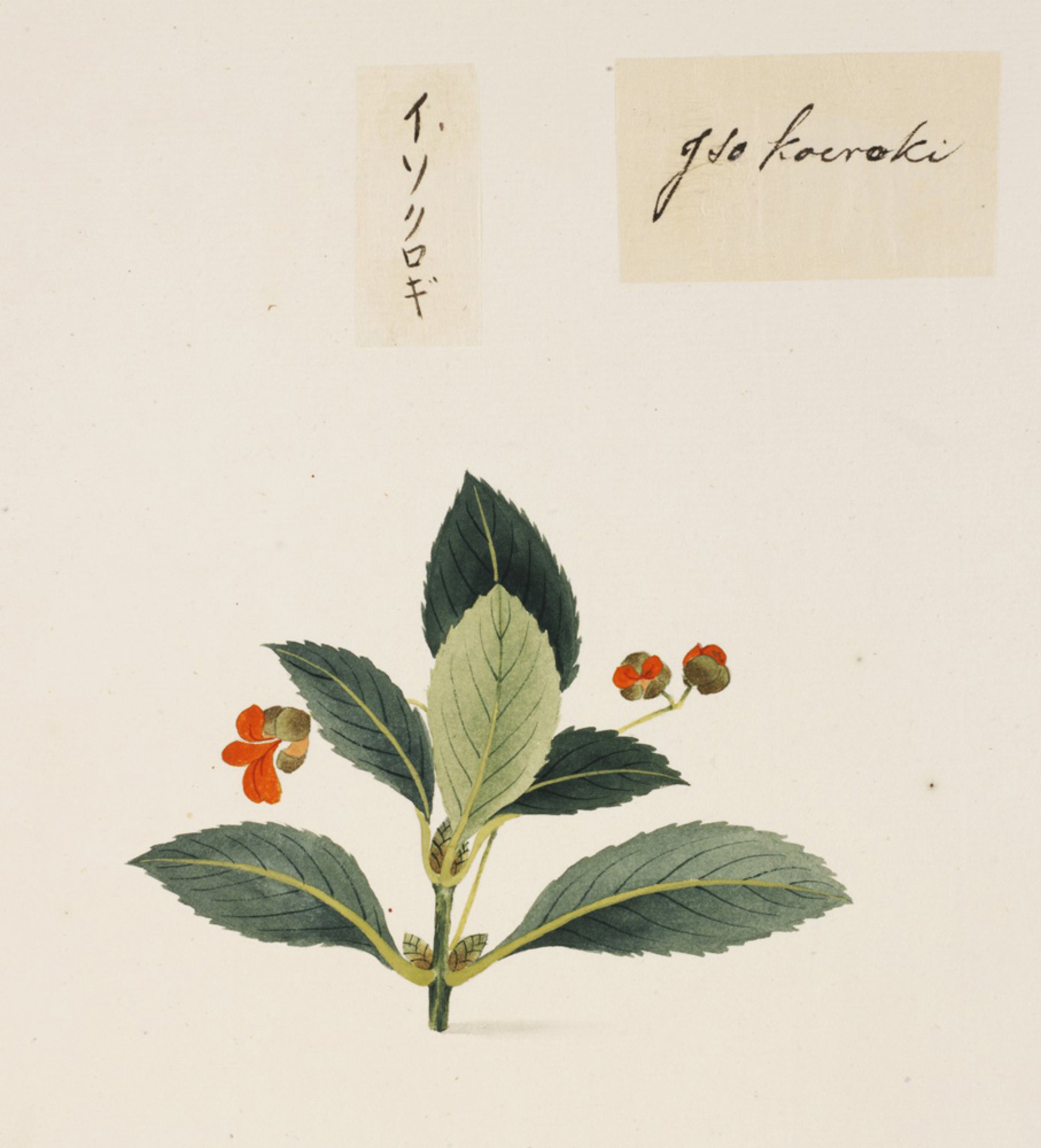 RMNH.ART.831   Euonymus japonicus