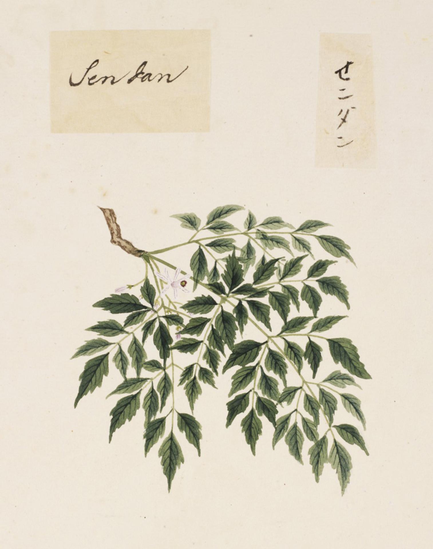 RMNH.ART.832 | Melia azedarach