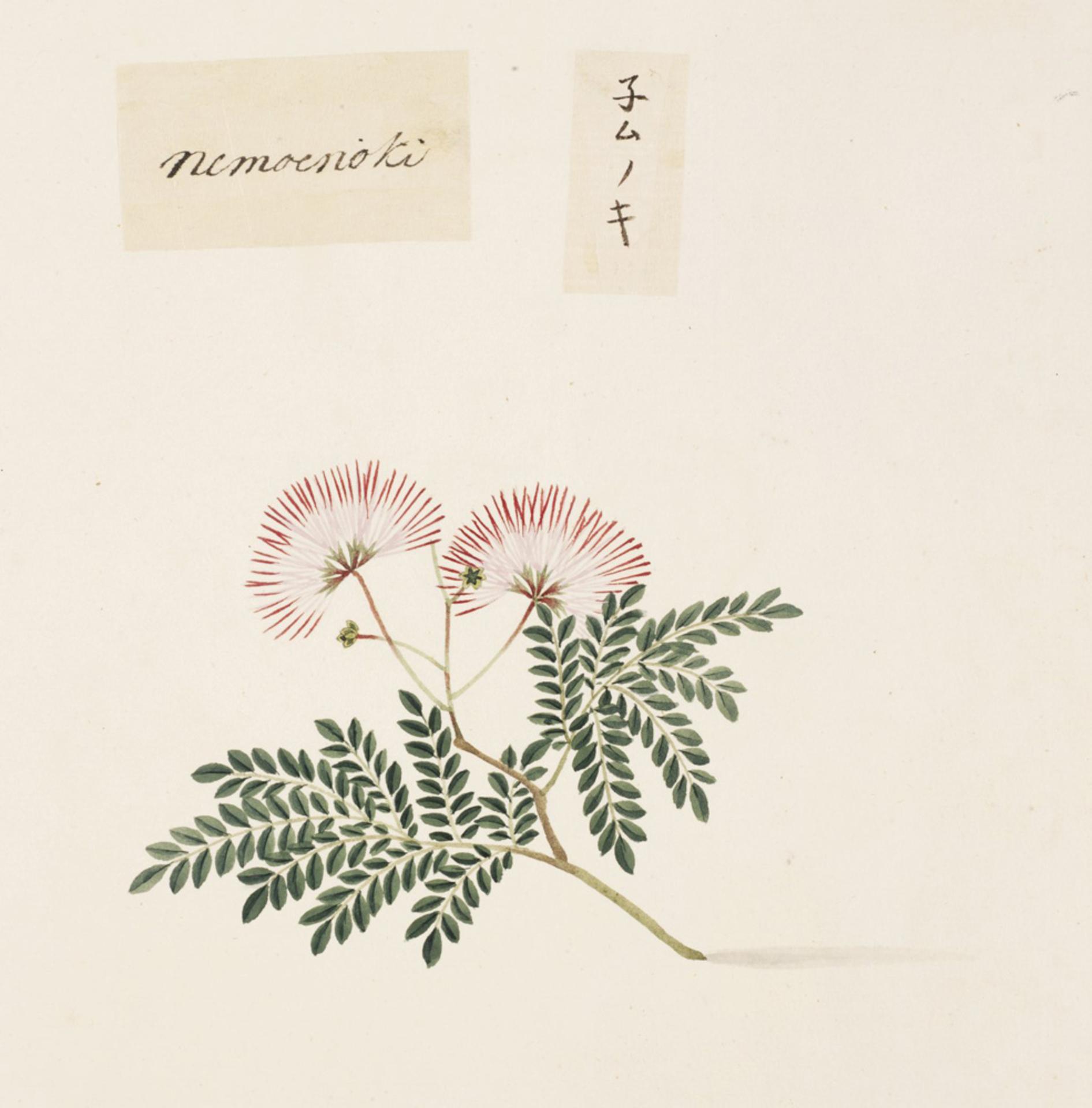RMNH.ART.835 | Albizia julibrissin
