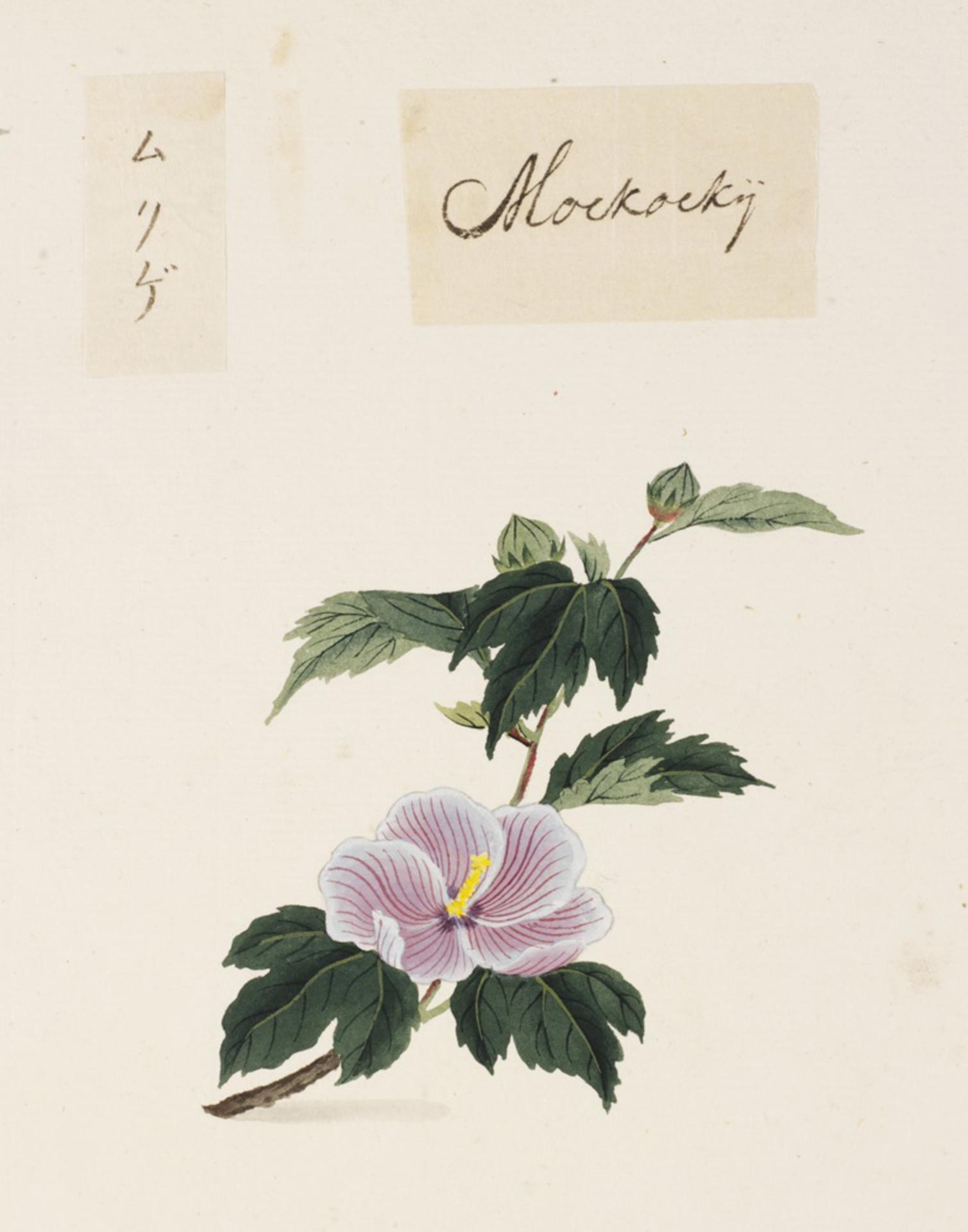 RMNH.ART.836   Hibiscus syriacus