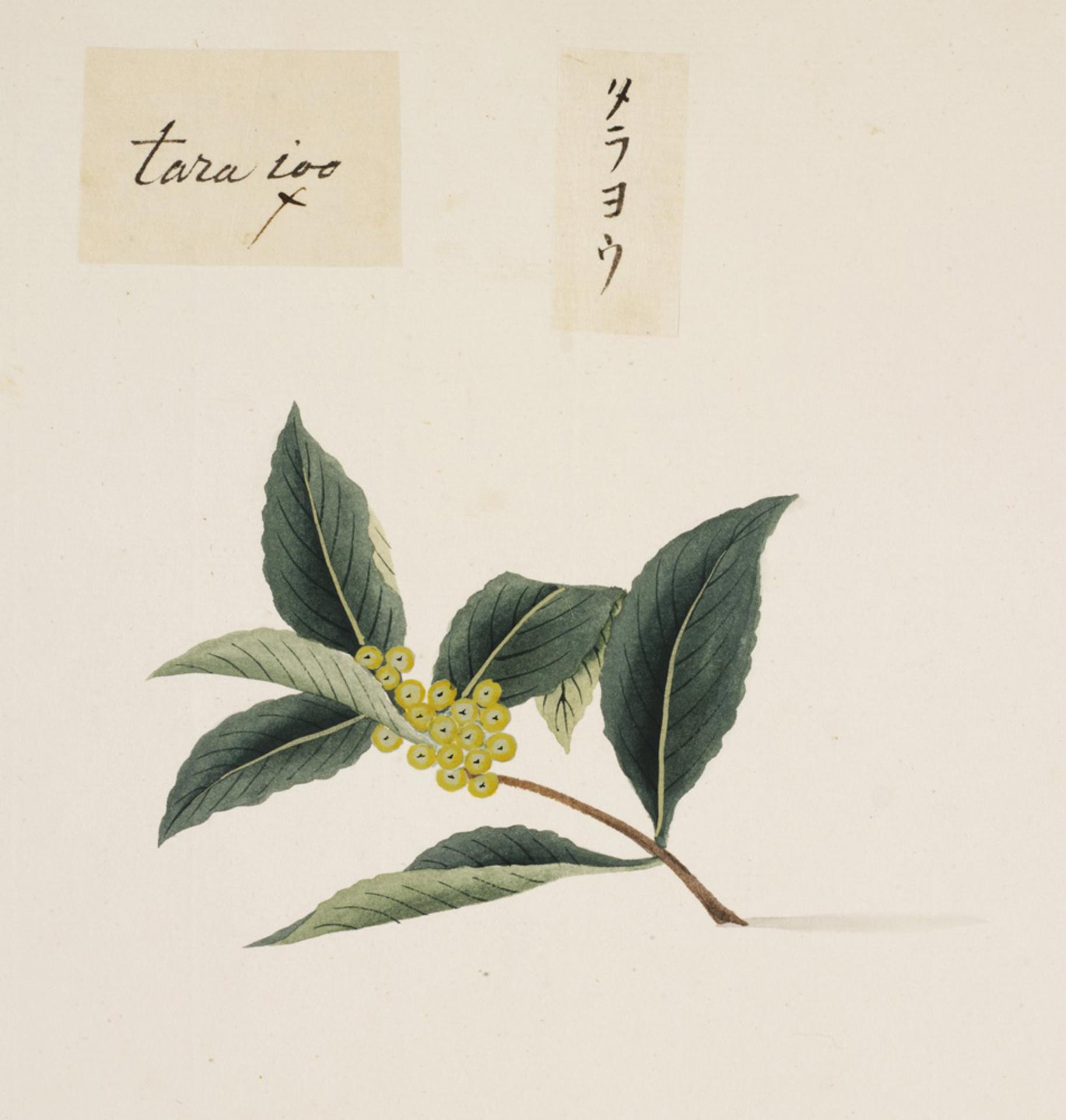 RMNH.ART.840 | Ilex latifolia