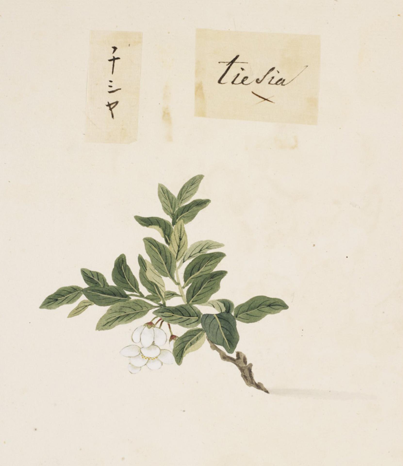 RMNH.ART.841   Lactuca sativa