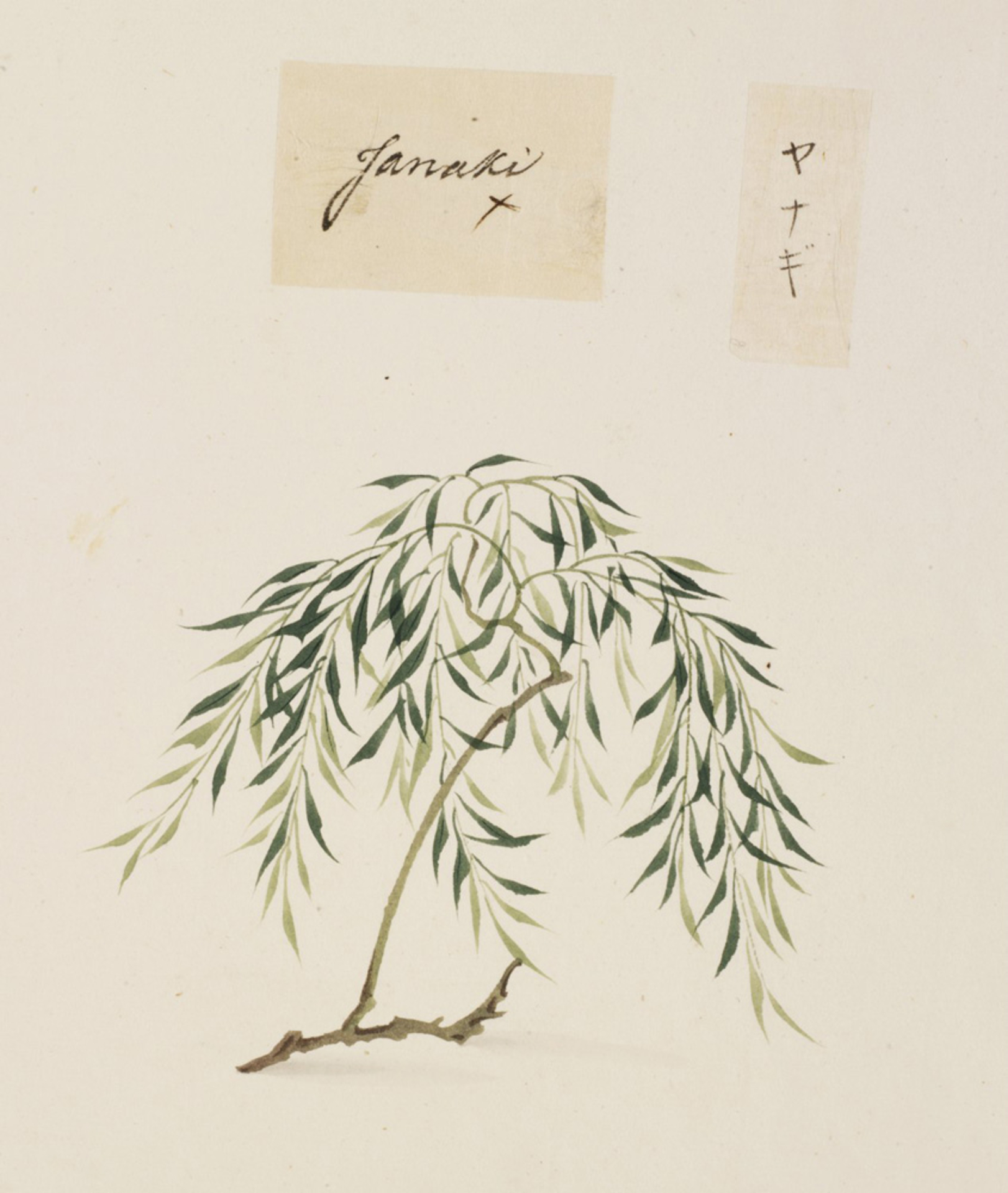 RMNH.ART.842 | Salix