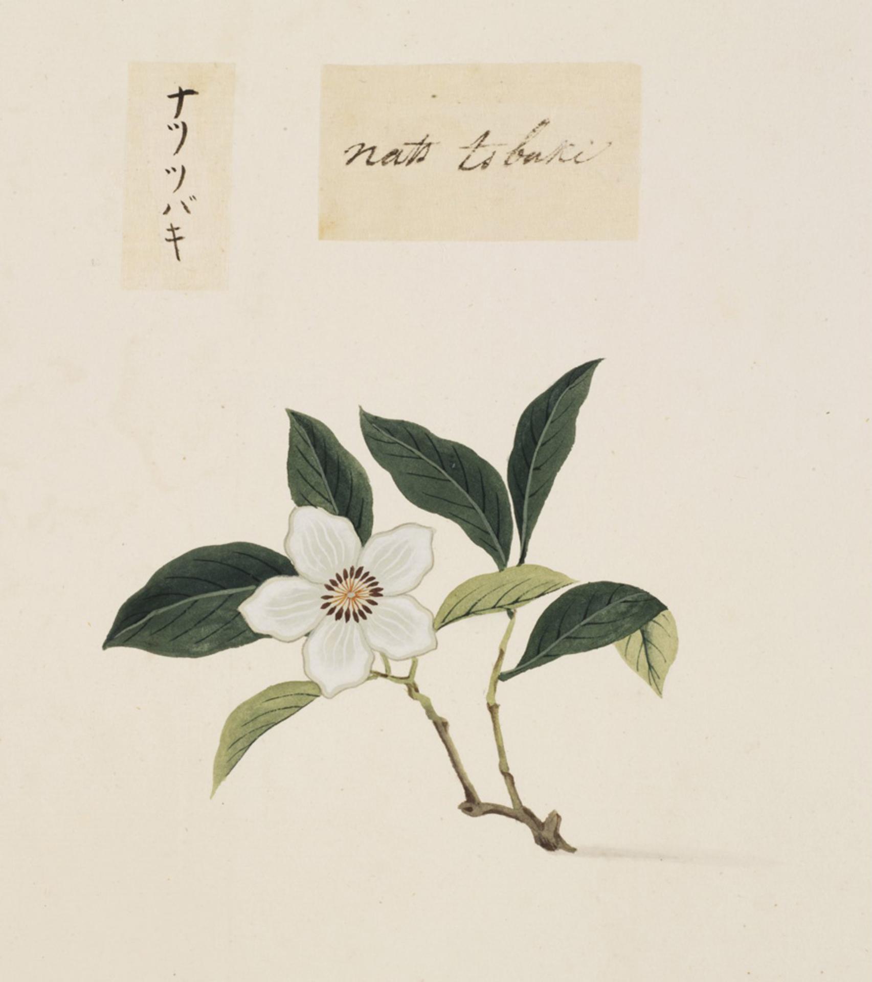 RMNH.ART.843 | Stuartia pseudocamellia