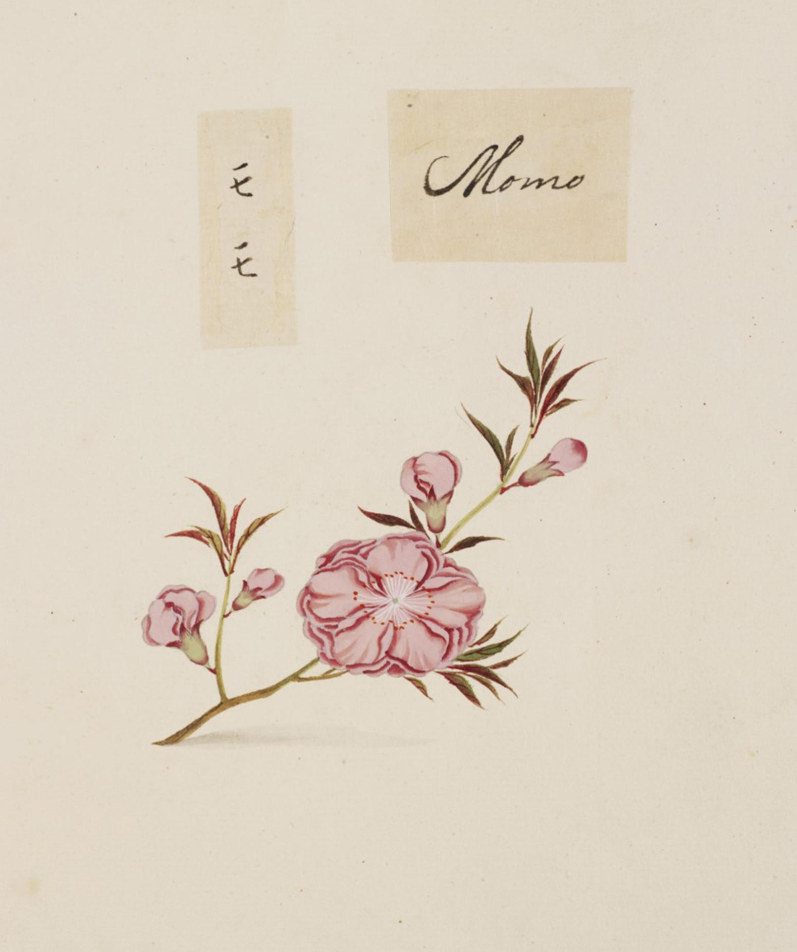 RMNH.ART.849   Prunus persica