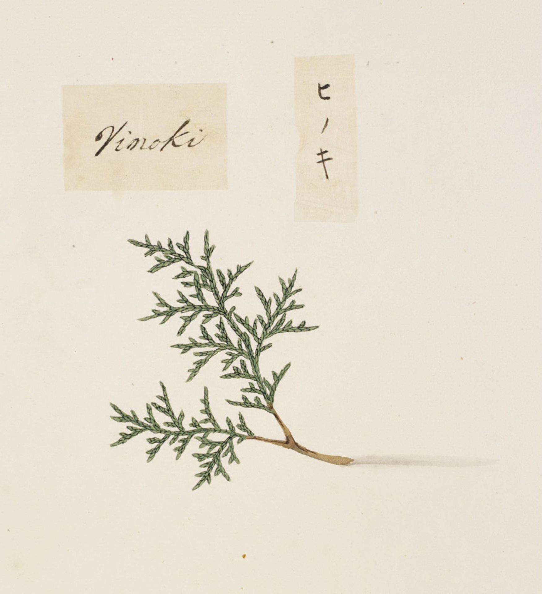 RMNH.ART.856 | Chamaecyparis obtusa
