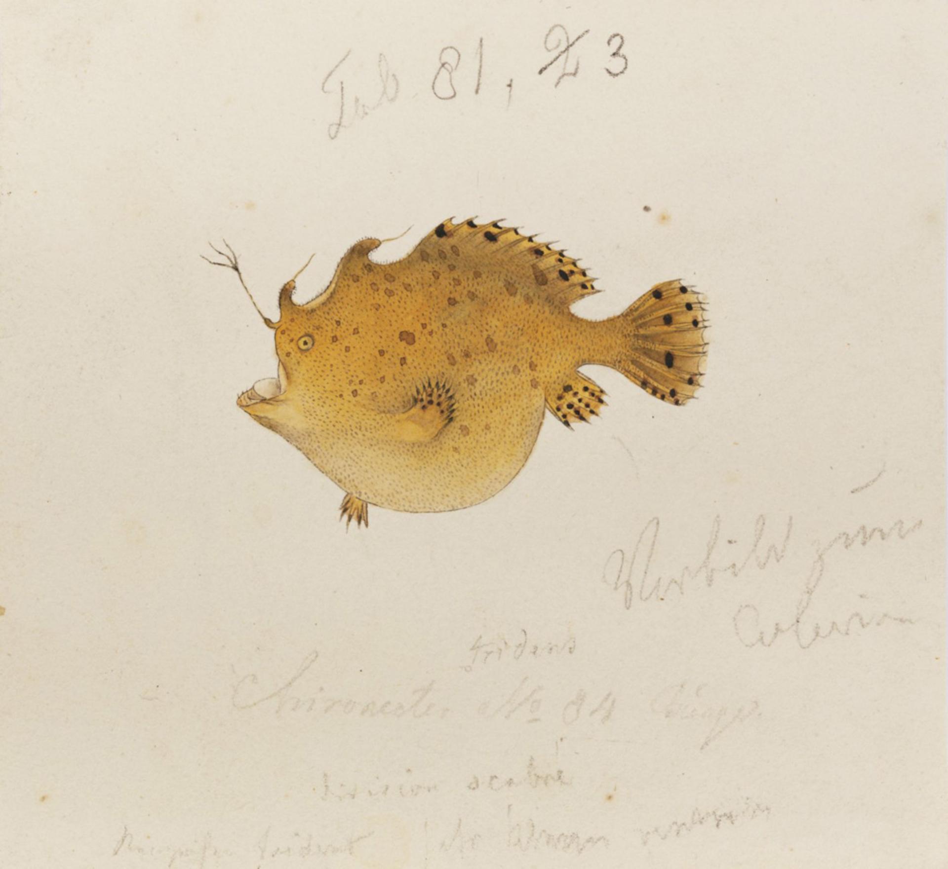 RMNH.ART.859 | Antennarius tridens
