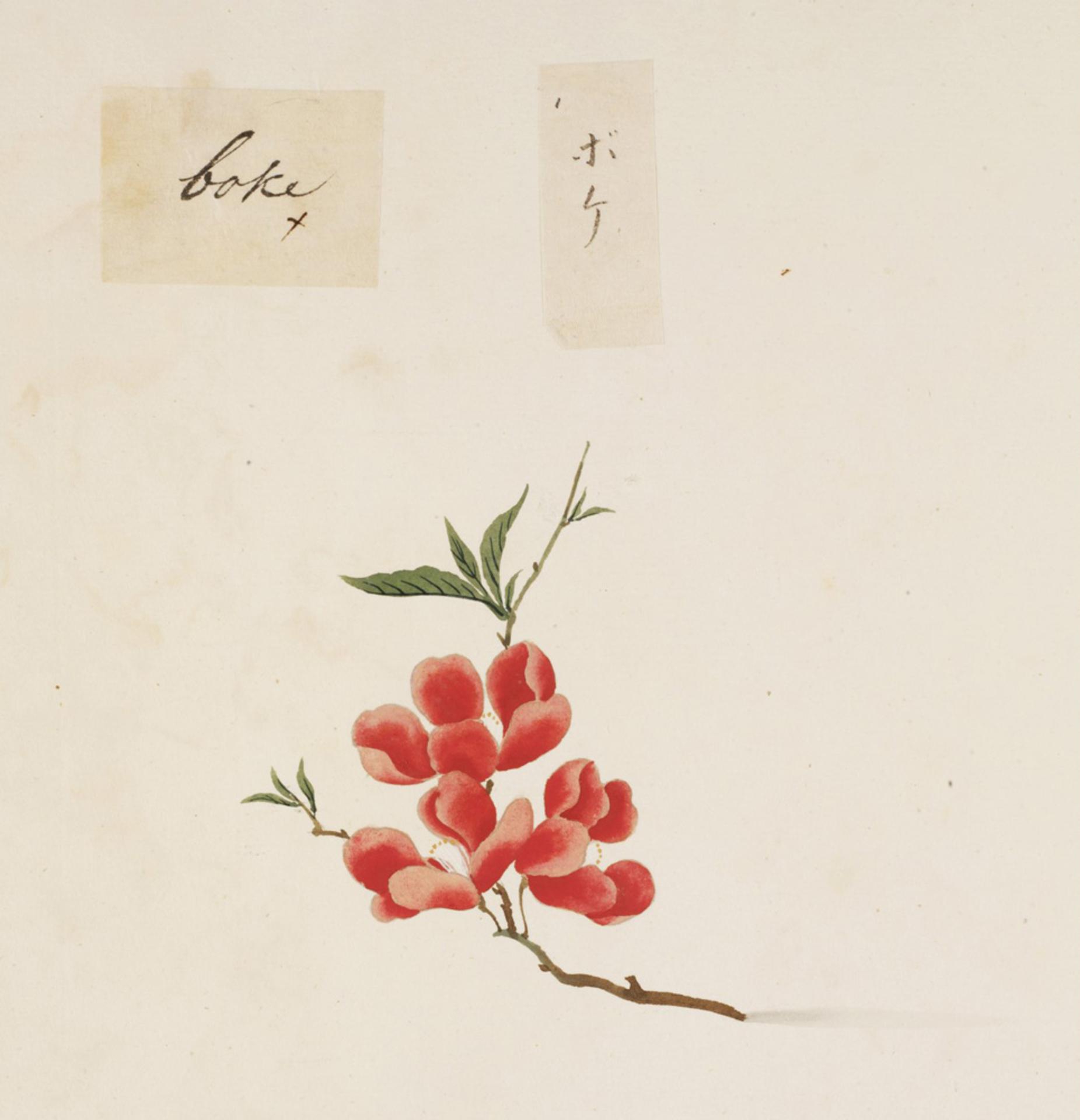 RMNH.ART.860 | Chaenomeles speciosa
