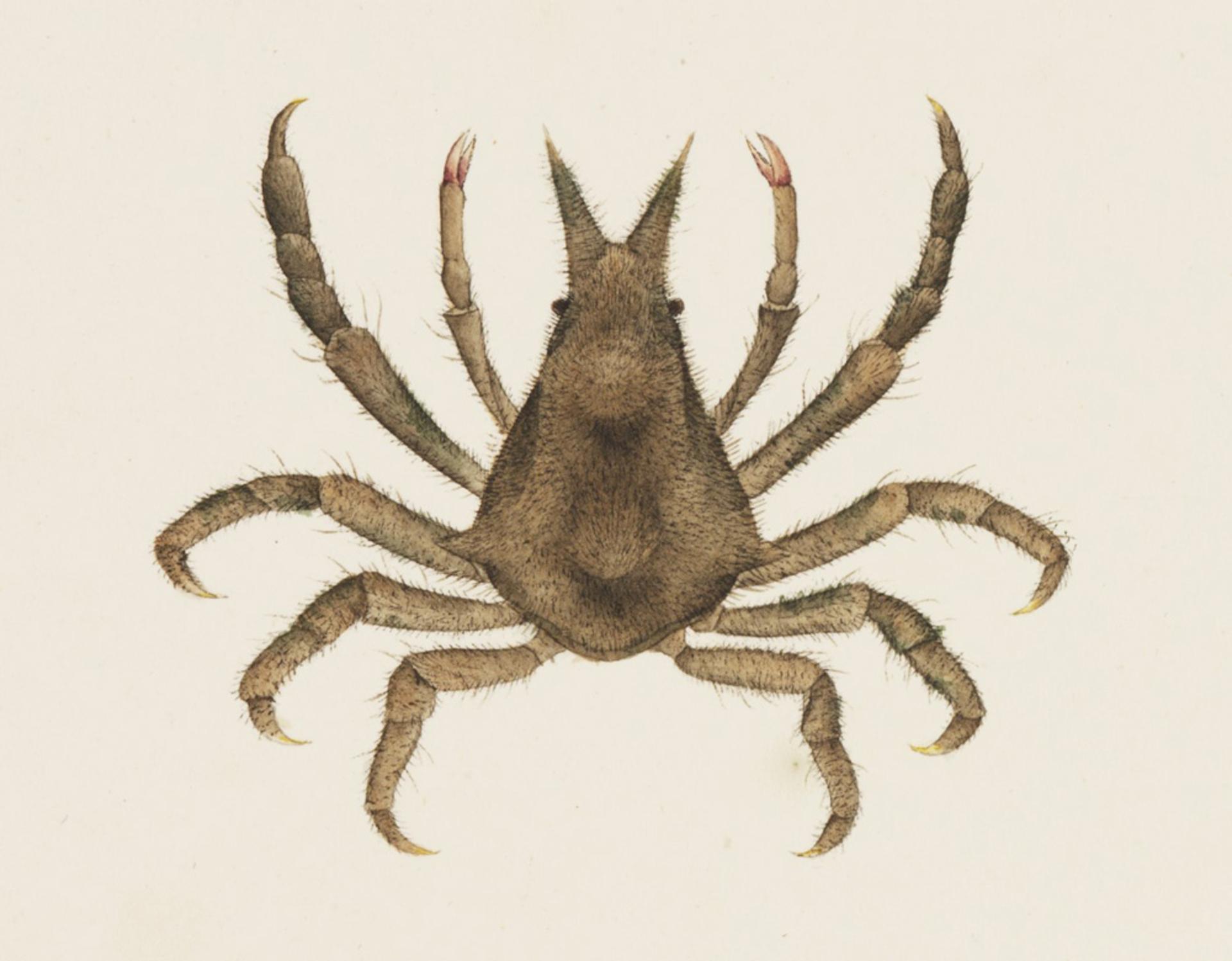 RMNH.ART.882   Hyastenus diacanthus