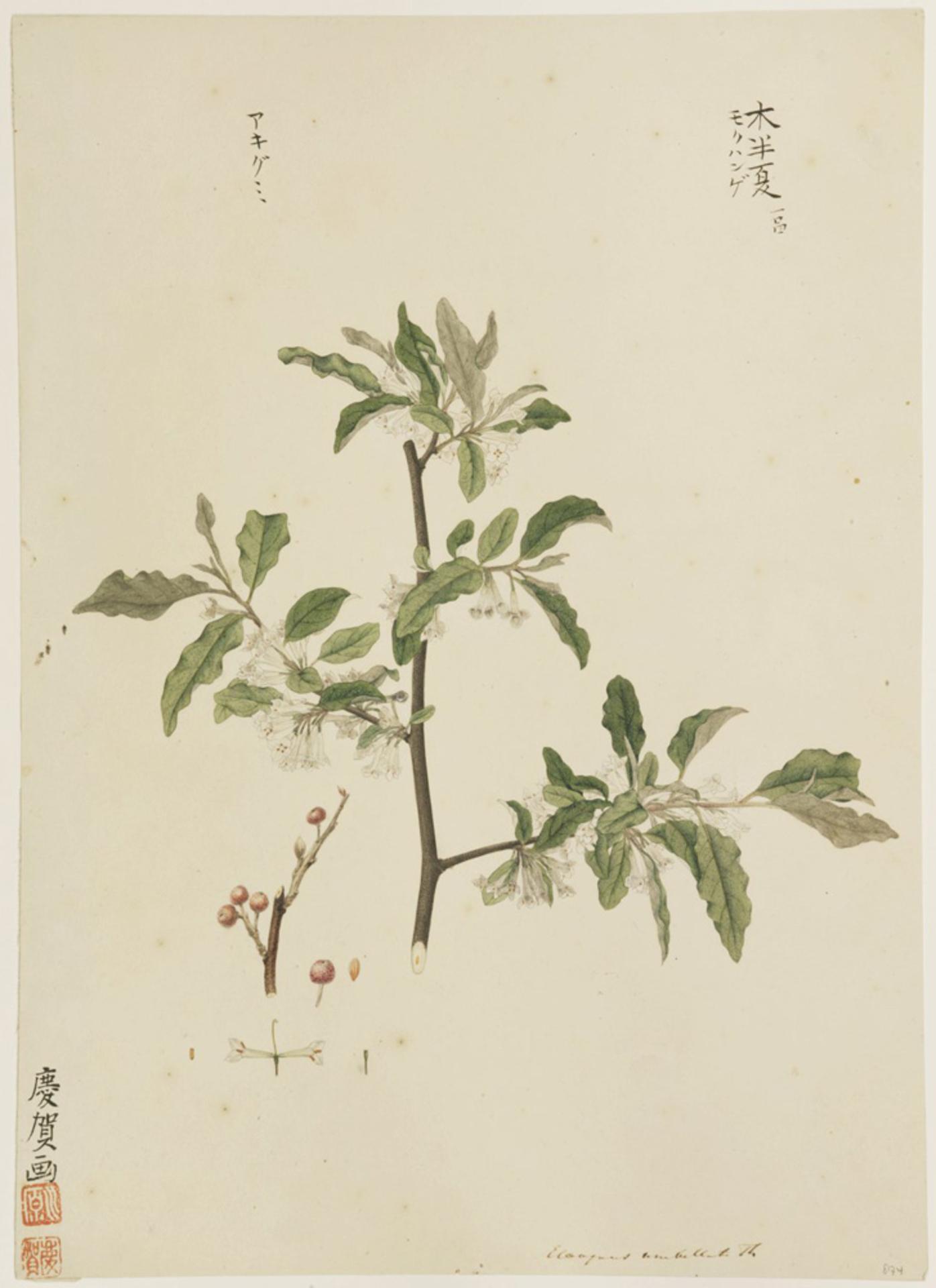RMNH.ART.890 | Elaeagnus umbellata