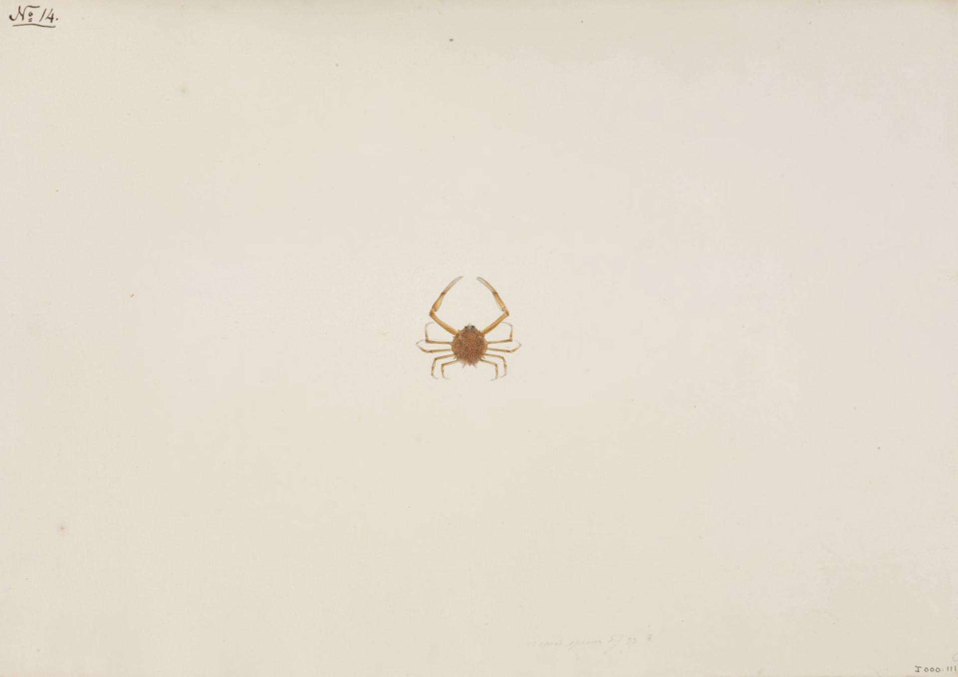 RMNH.ART.90 | Arcania undecimspinosa