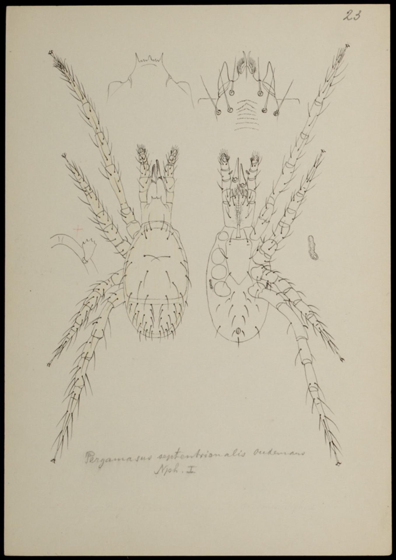 RMNH.ART.907 | Pergamasus septentrionalis (Oudemans)