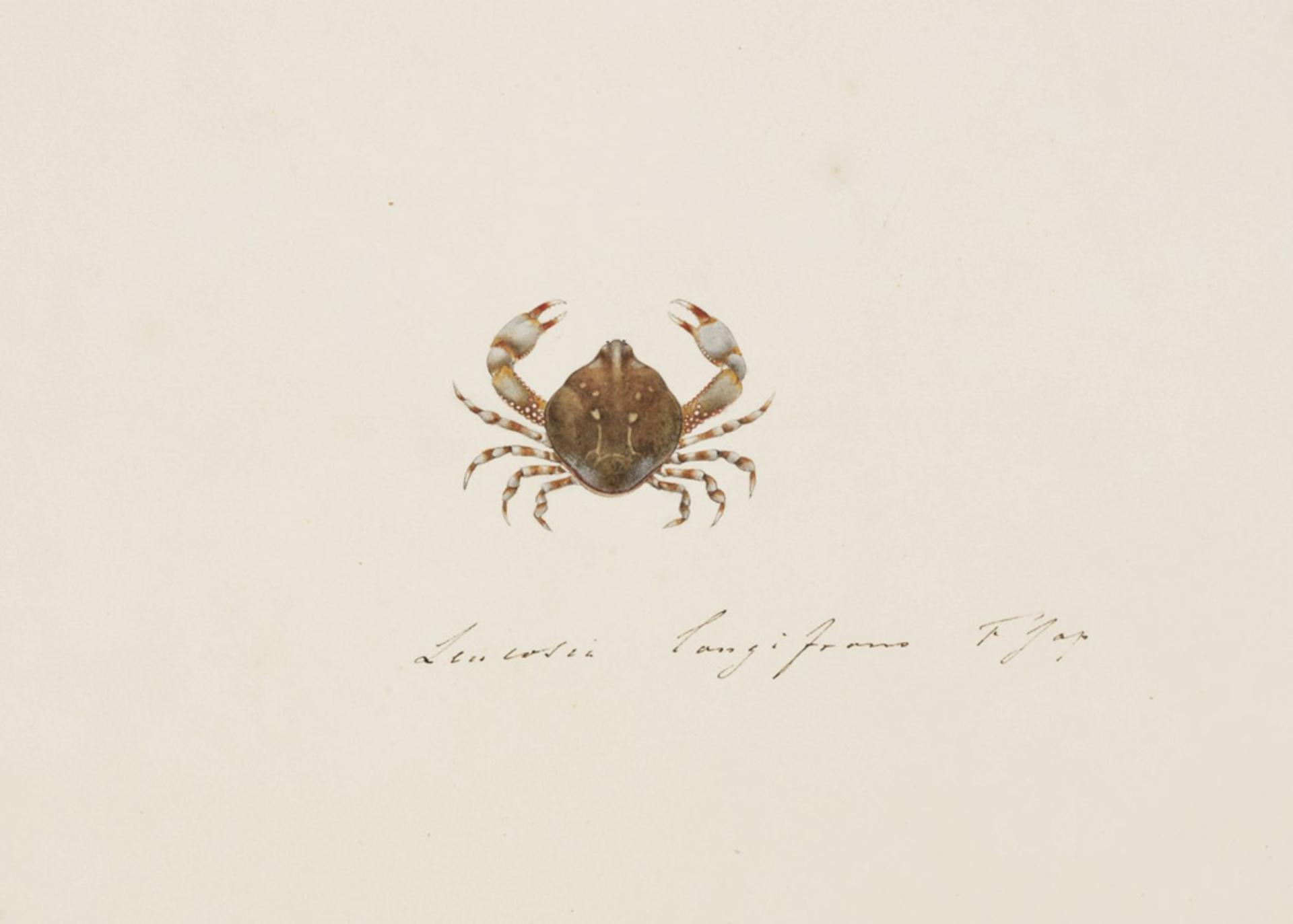 RMNH.ART.94 | Leucosia anatum