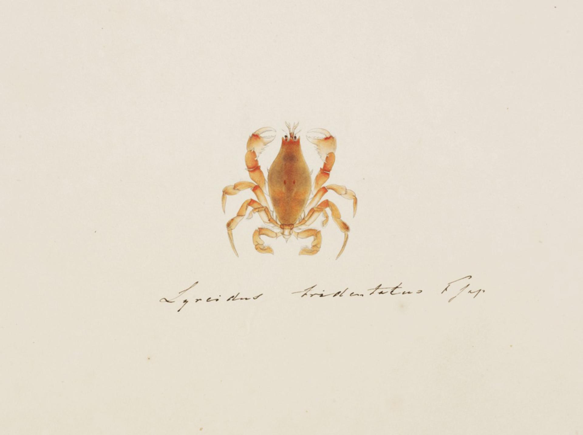 RMNH.ART.95 | Lyreidus brevifrons