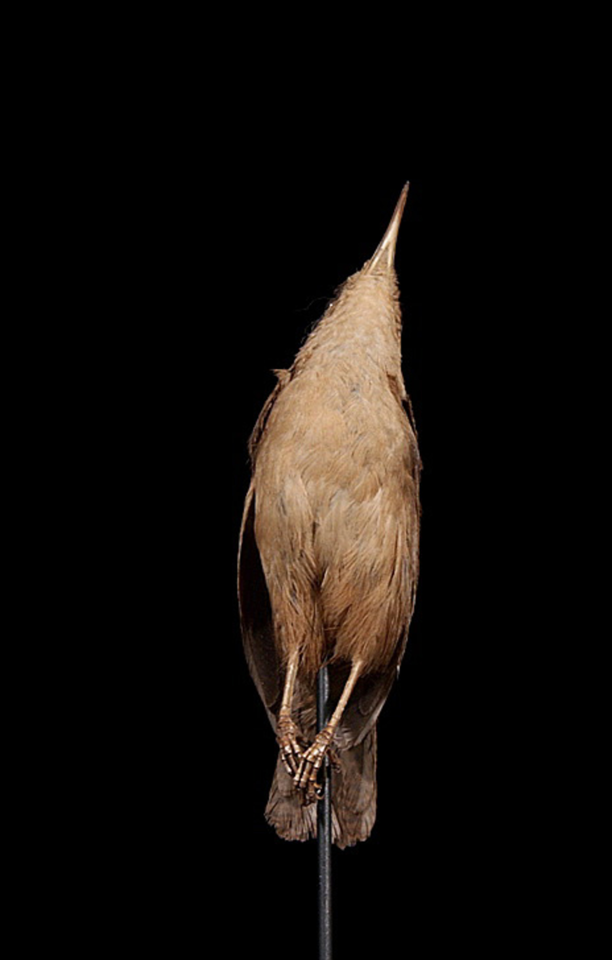 RMNH.AVES.110001 | Troglodytes aedon martinicensis Sclater, 1866