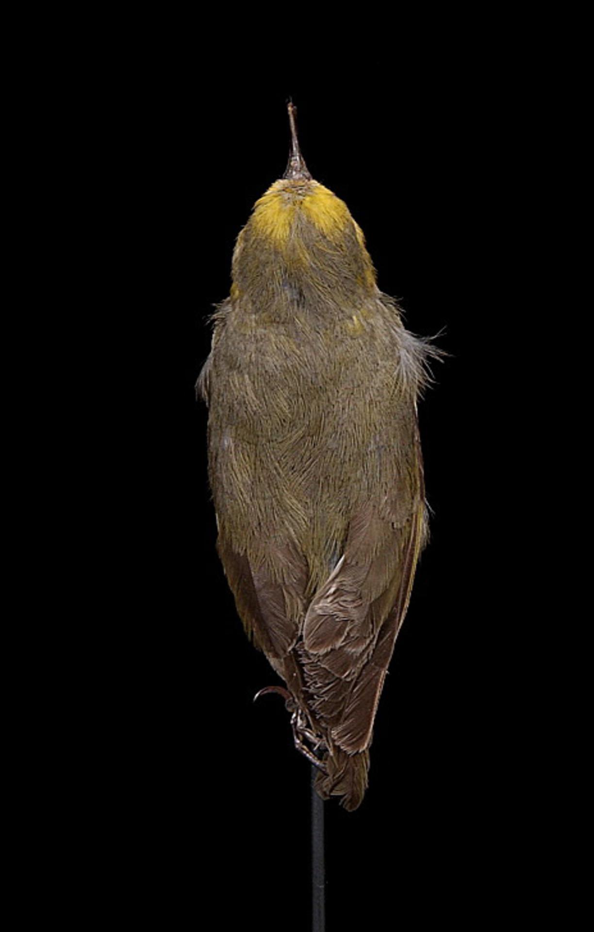 RMNH.AVES.110002 | Hemignathus lucidus affinis Rothschild, 1893