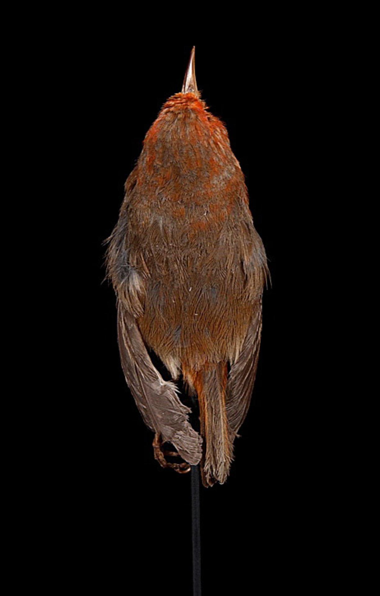 RMNH.AVES.110003   Paroreomyza flammea (Wilson, 1890)