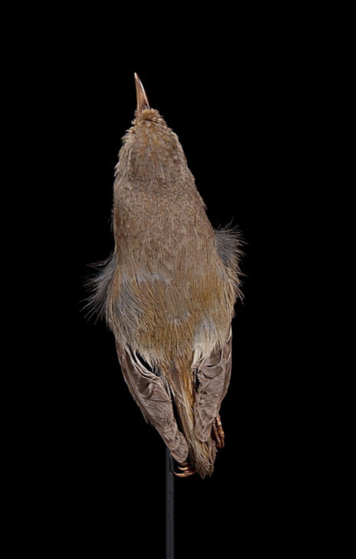 RMNH.AVES.110004 | Paroreomyza flammea Wilson, 1890