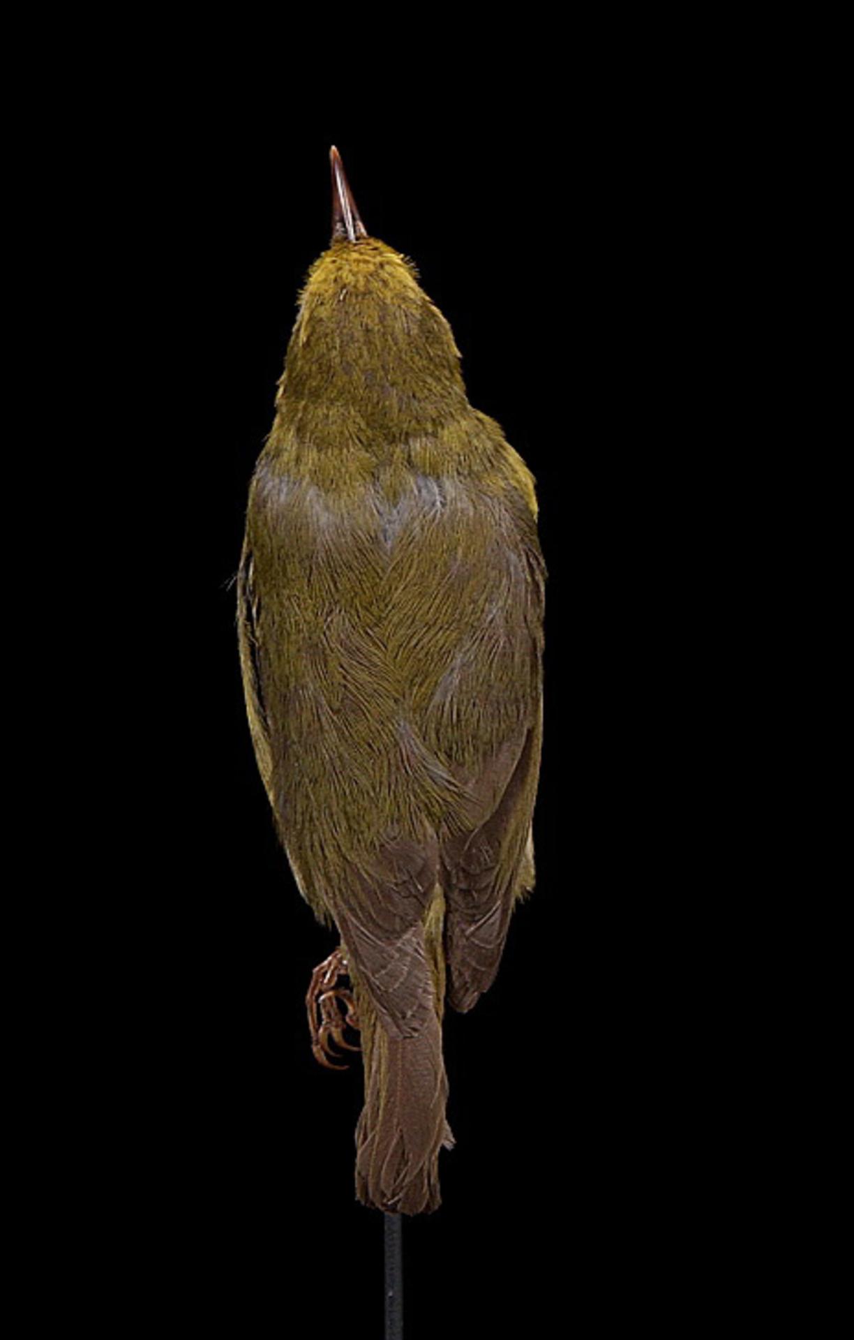 RMNH.AVES.110005 | Paroreomyza maculata Cabanis, 1850