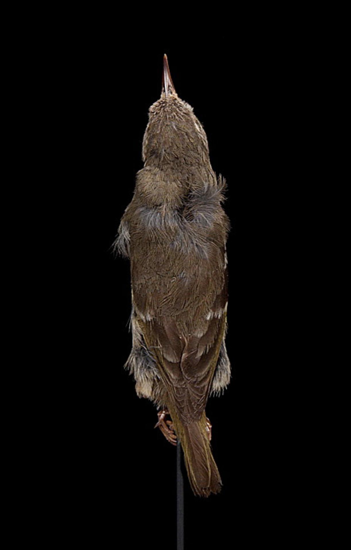 RMNH.AVES.110006 | Paroreomyza maculata Cabanis, 1850