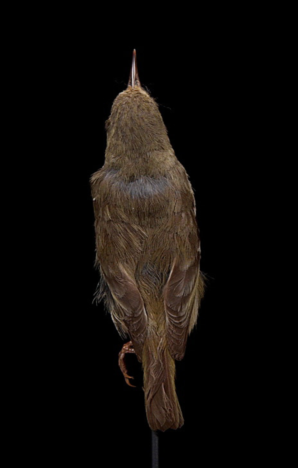 RMNH.AVES.110007 | Paroreomyza maculata (Cabanis, 1850)