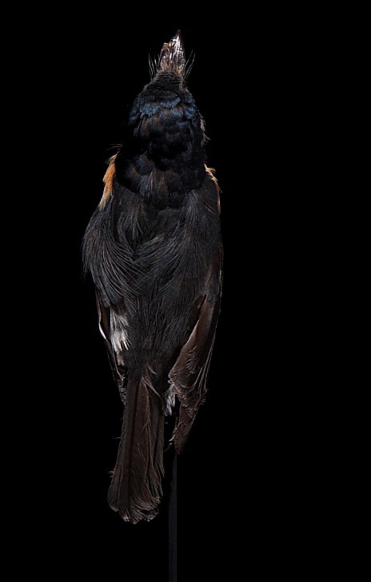 RMNH.AVES.110008 | Myiagra freycineti Oustalet, 1881
