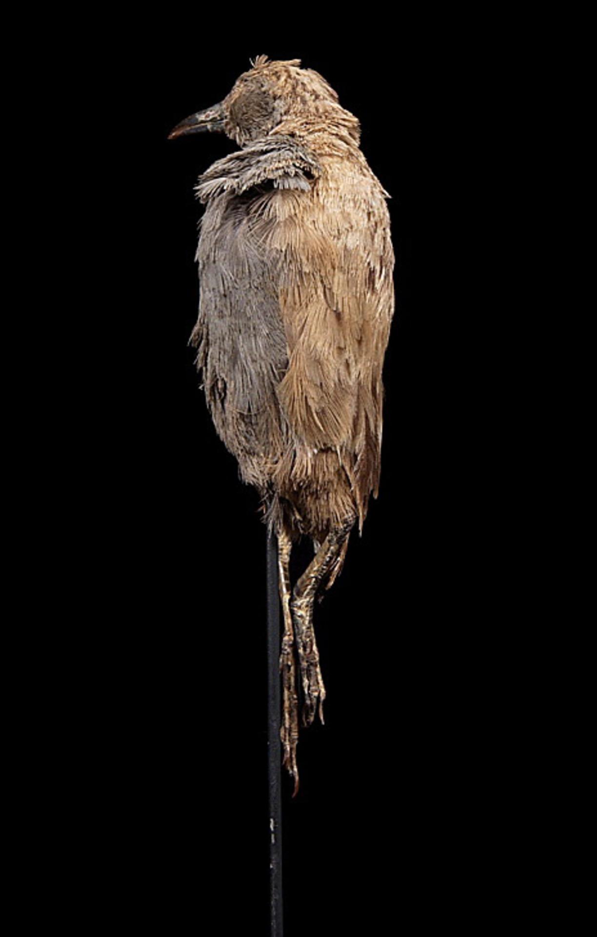 RMNH.AVES.110009 | Porzana palmeri (Frohawk, 1892)