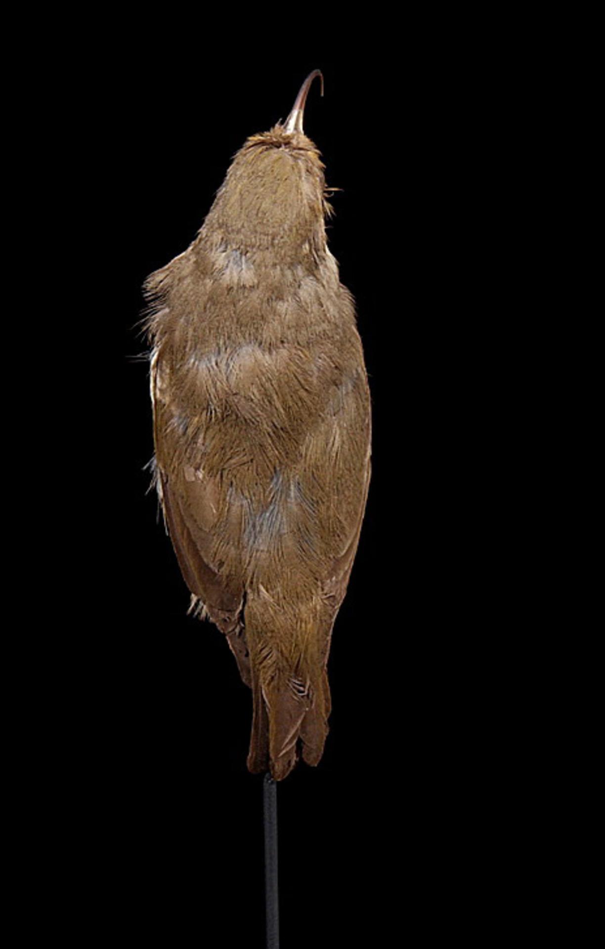 RMNH.AVES.110010 | Hemignathus lucidus lucidus Lichtenstein, 1839