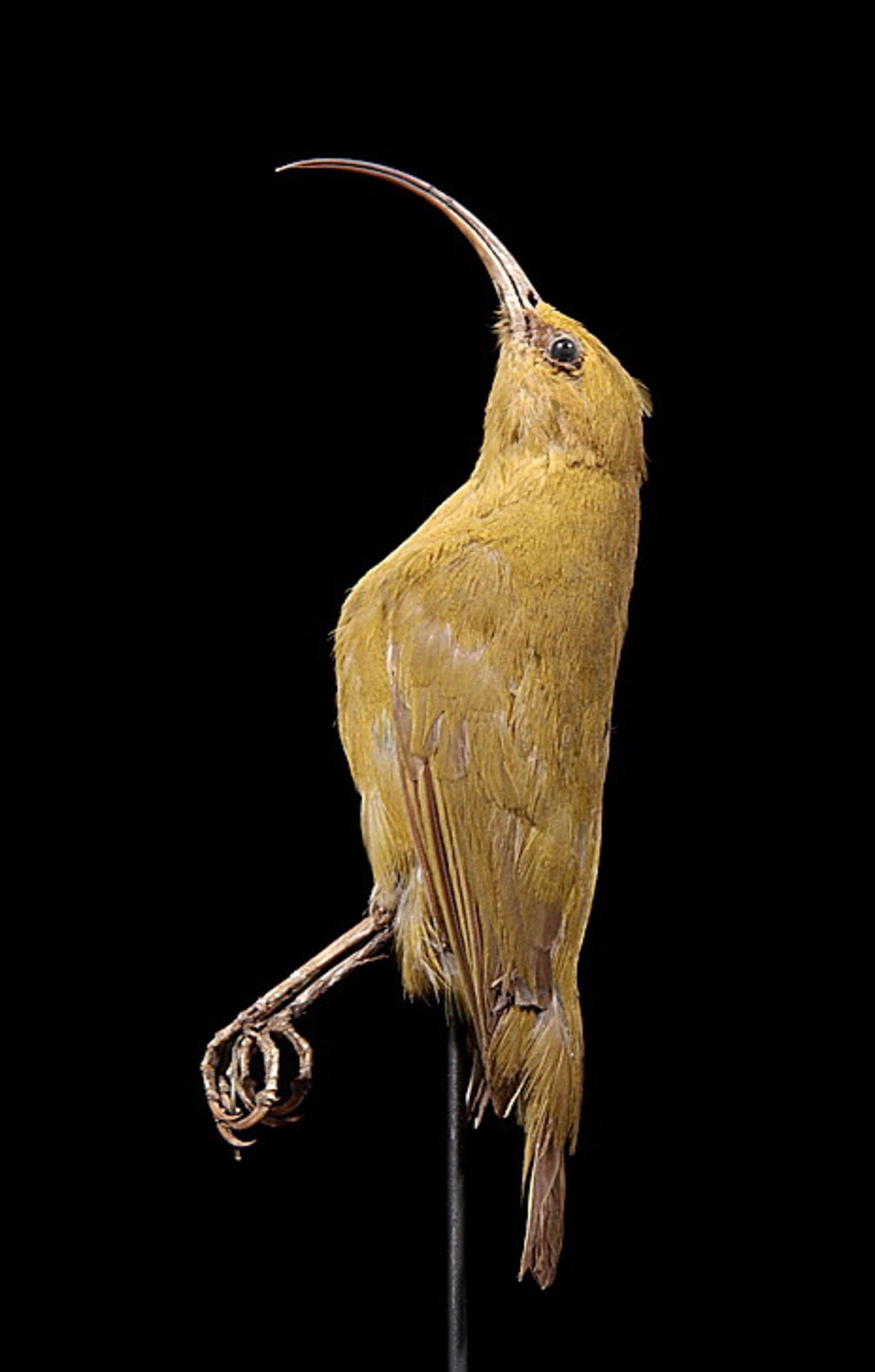 RMNH.AVES.110013 | Hemignathus obscurus (Gmelin, 1788)