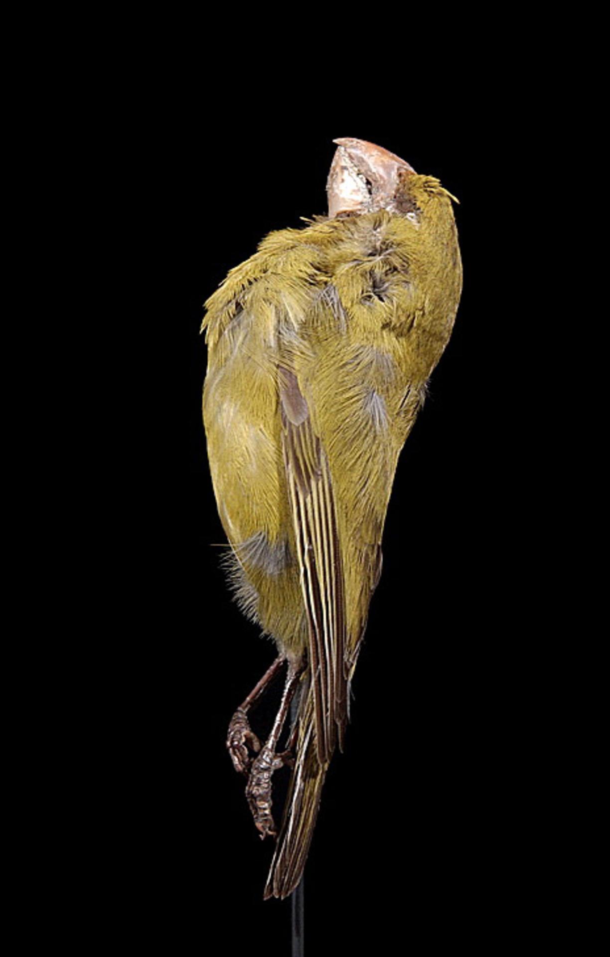 RMNH.AVES.110015 | Chloridops kona Wilson, 1888