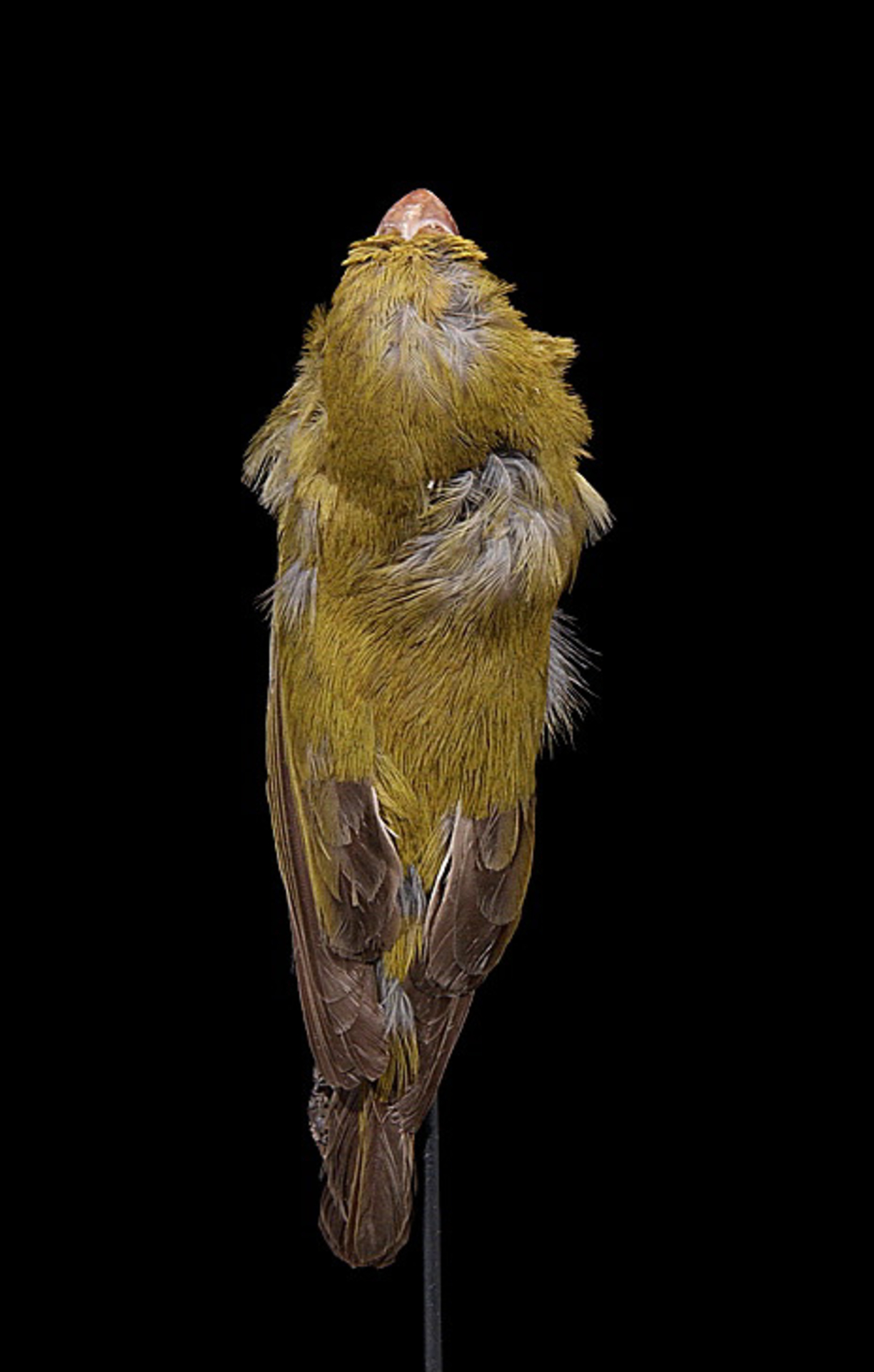 RMNH.AVES.110015   Chloridops kona Wilson, 1888