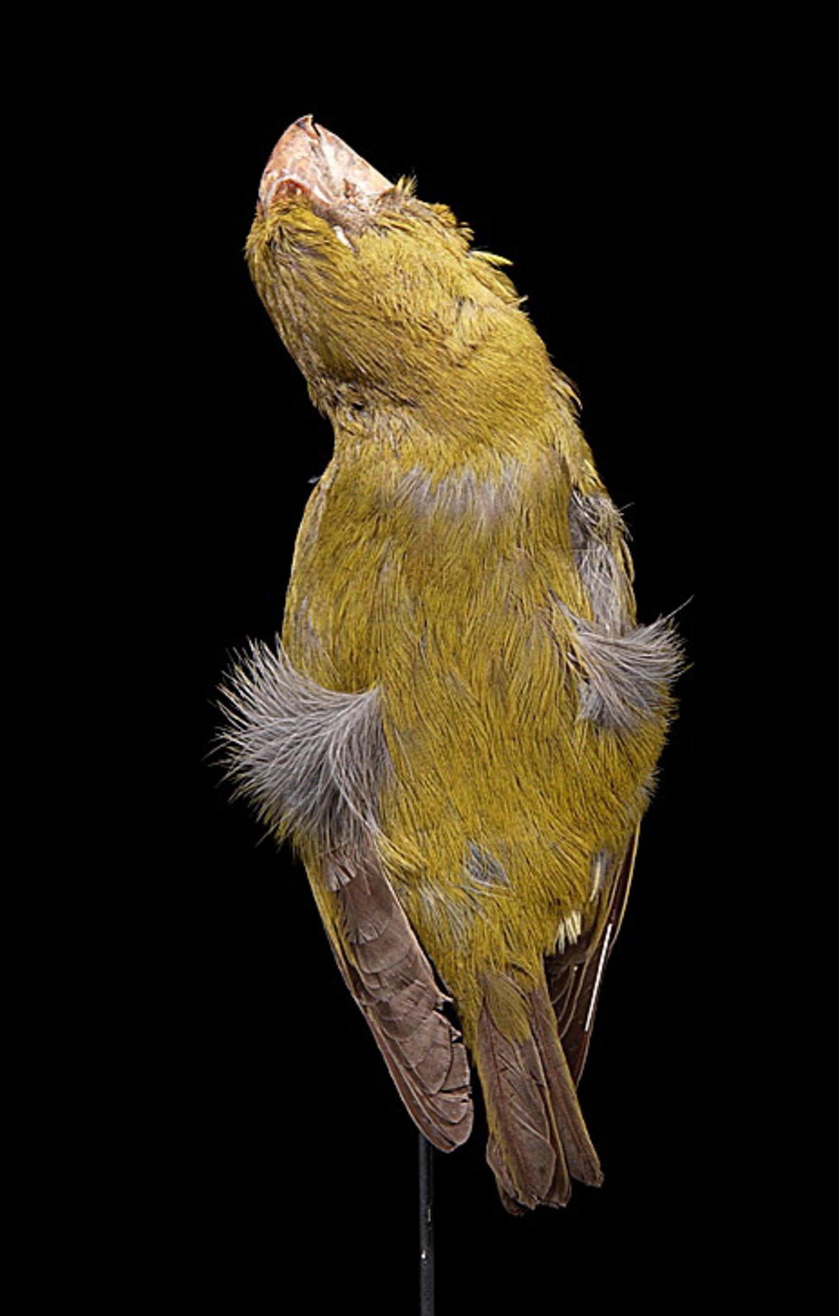RMNH.AVES.110016 | Chloridops kona Wilson, 1888