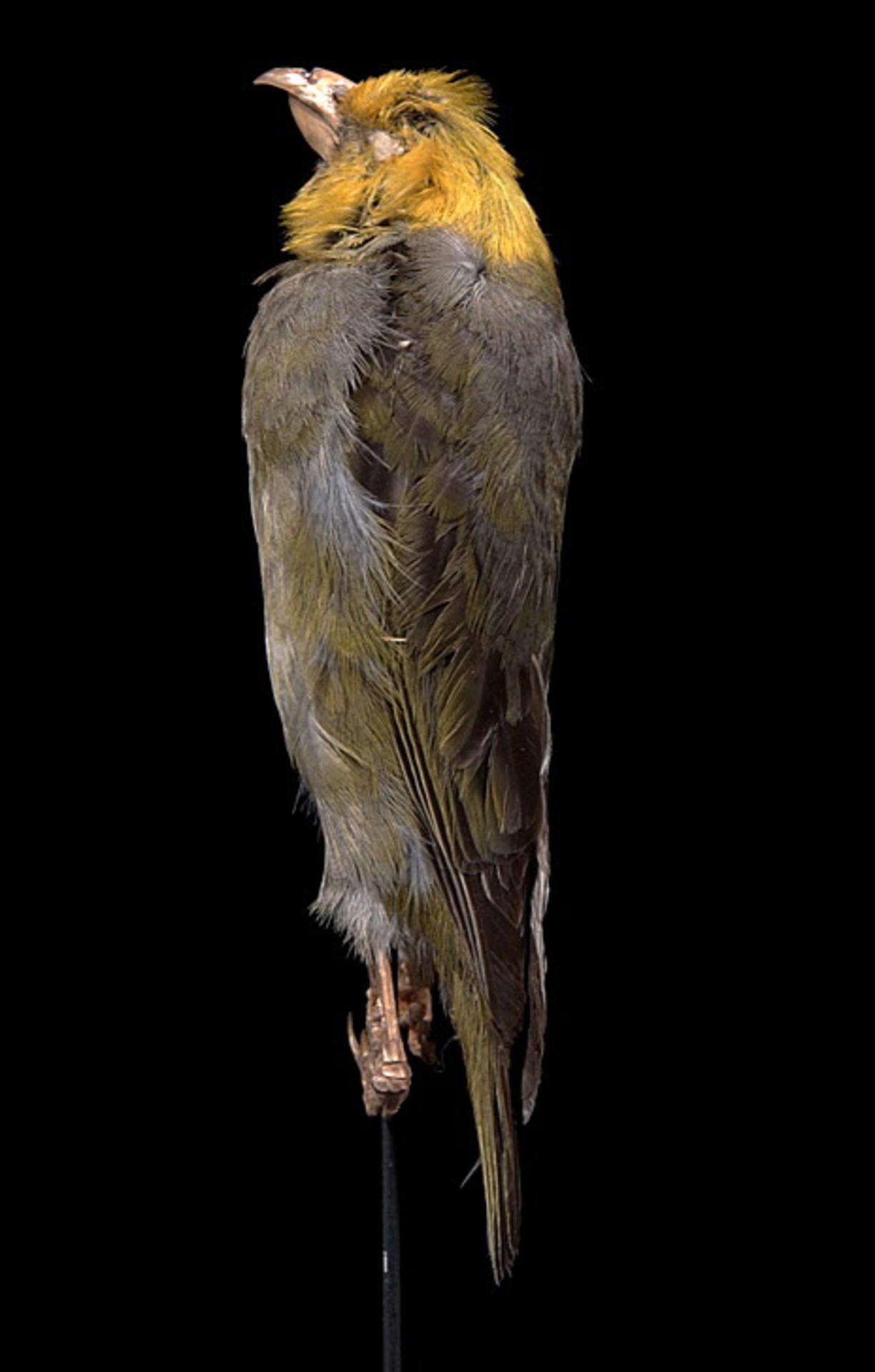 RMNH.AVES.110017 | Psittirostra psittacea (Gmelin, 1789)