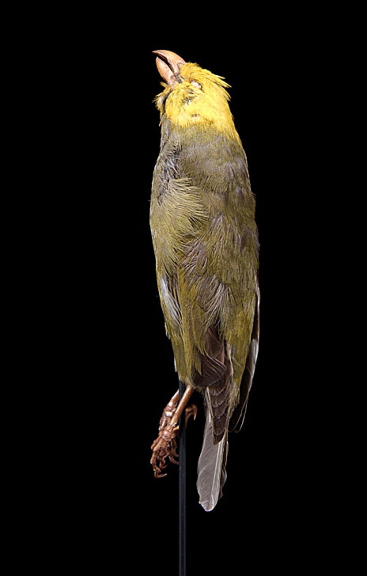 RMNH.AVES.110018 | Psittirostra psittacea (Gmelin, 1789)