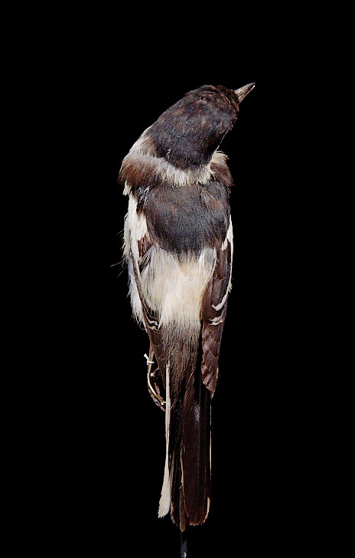 RMNH.AVES.110019   Lalage leucopyga leucopyga (Gould, 1838)