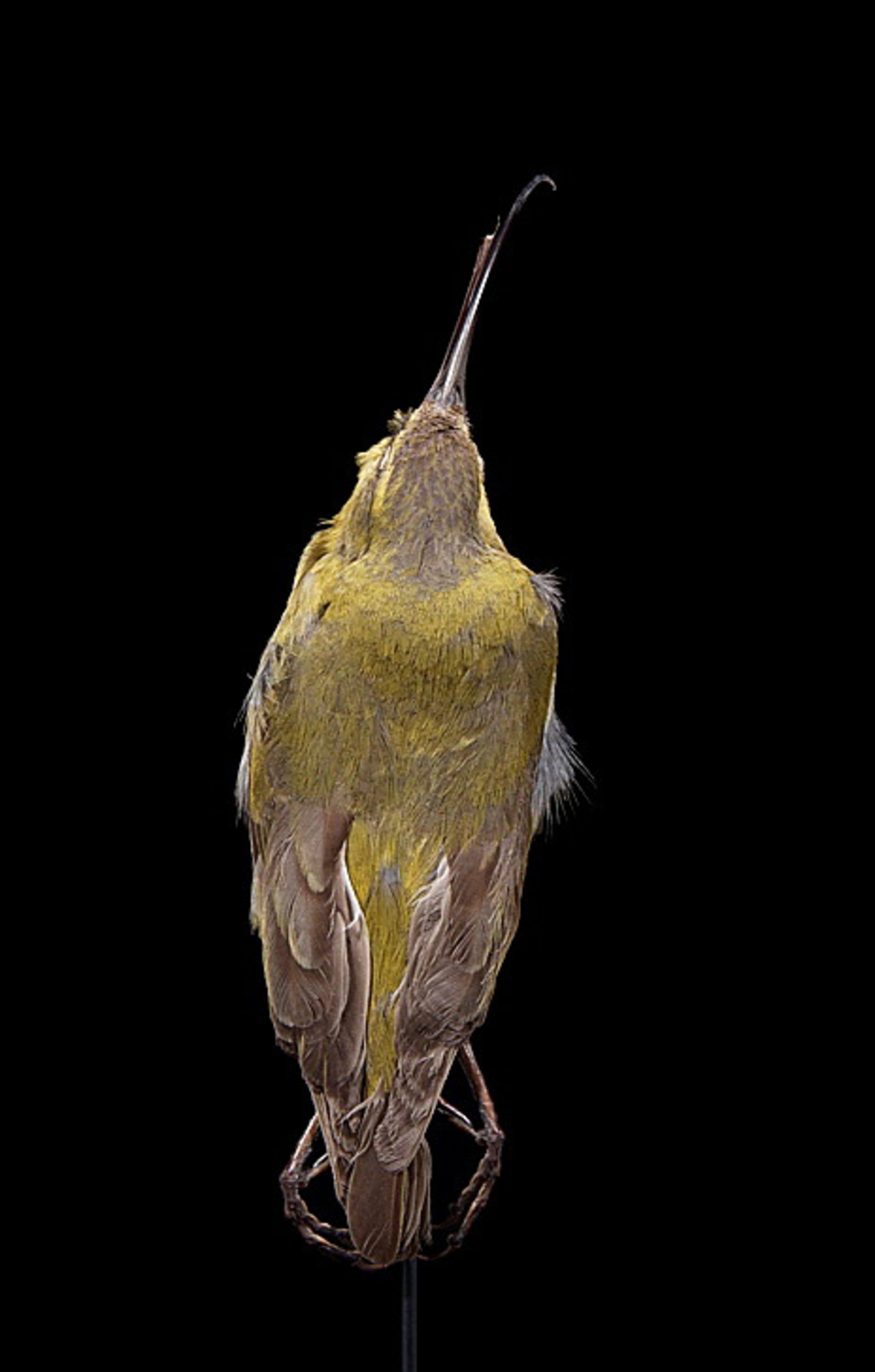 RMNH.AVES.110021   Hemignatus ellisianus stejnegeri (Wilson, 1889)