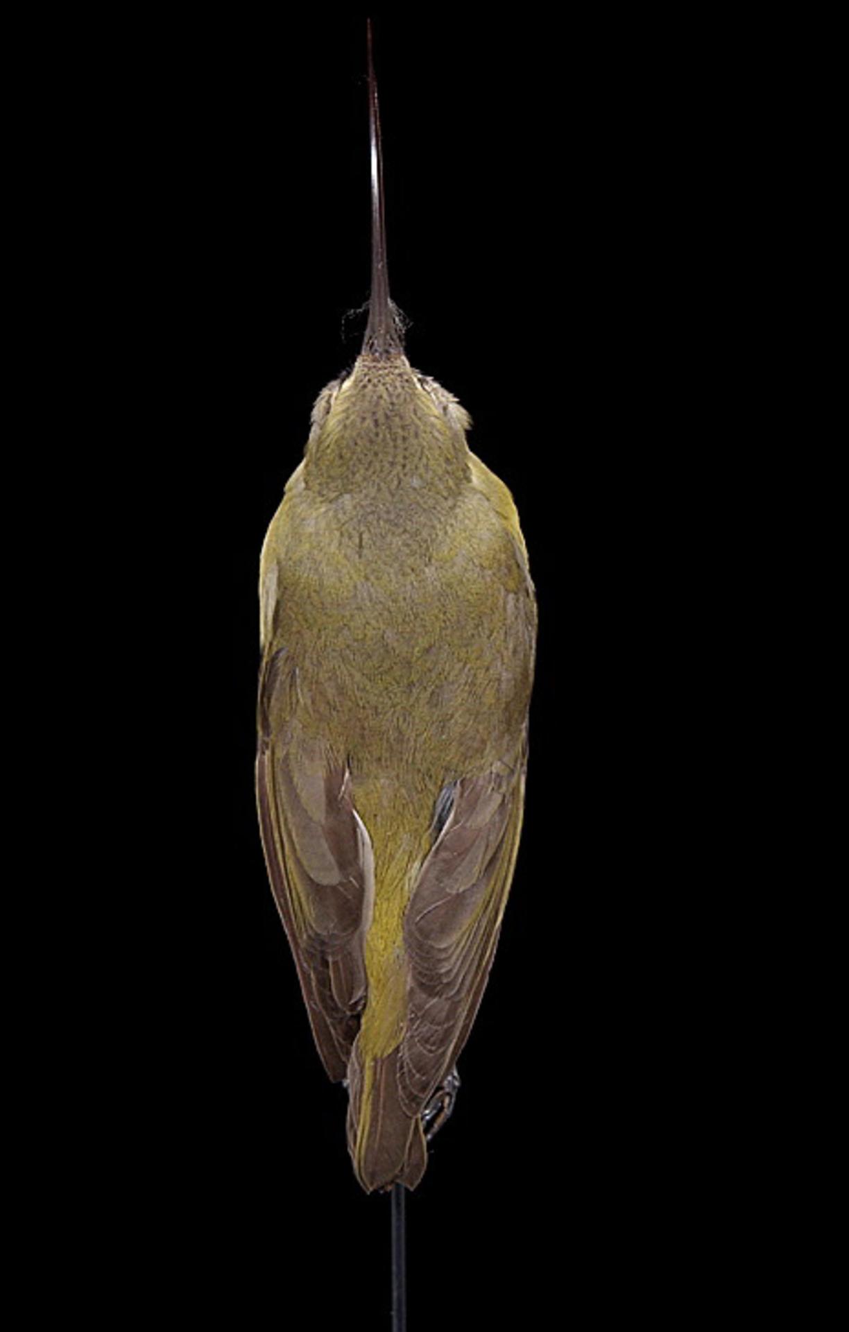 RMNH.AVES.110022   Hemignatus ellisianus stejnegeri (Wilson, 1889)