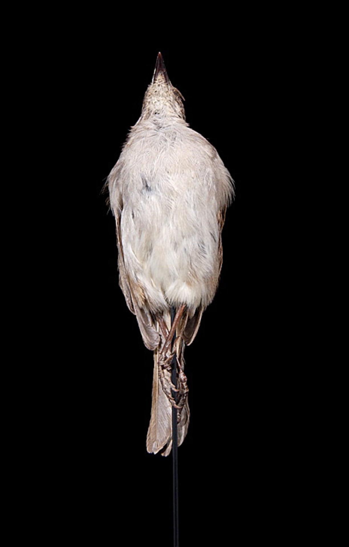RMNH.AVES.110026 | Myadestes lanaiensis lanaiensis Wilson, 1891