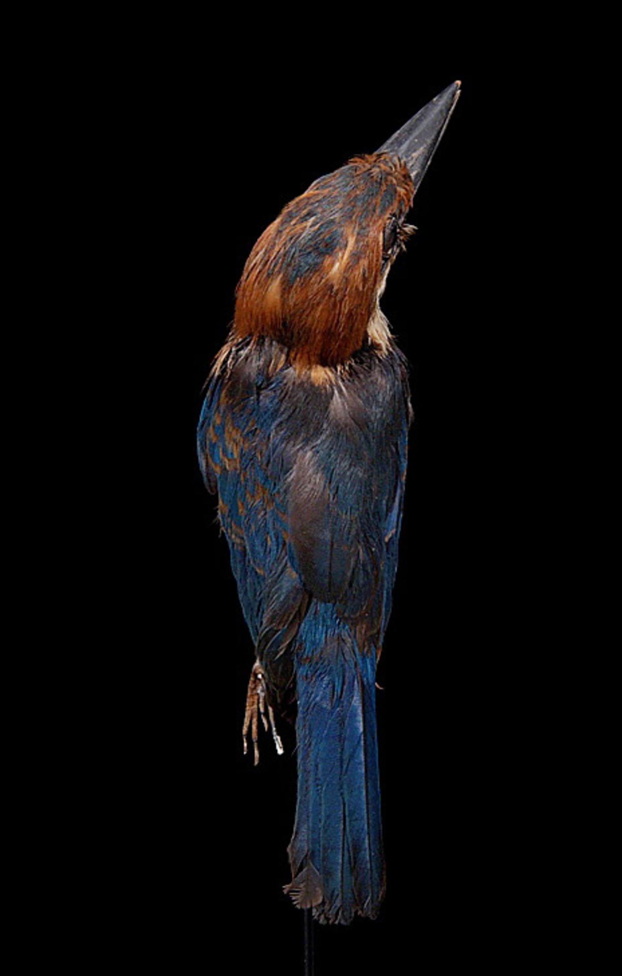 RMNH.AVES.110027 | Todiramphus cinnamominus cinnamominus (Swainson, 1821)
