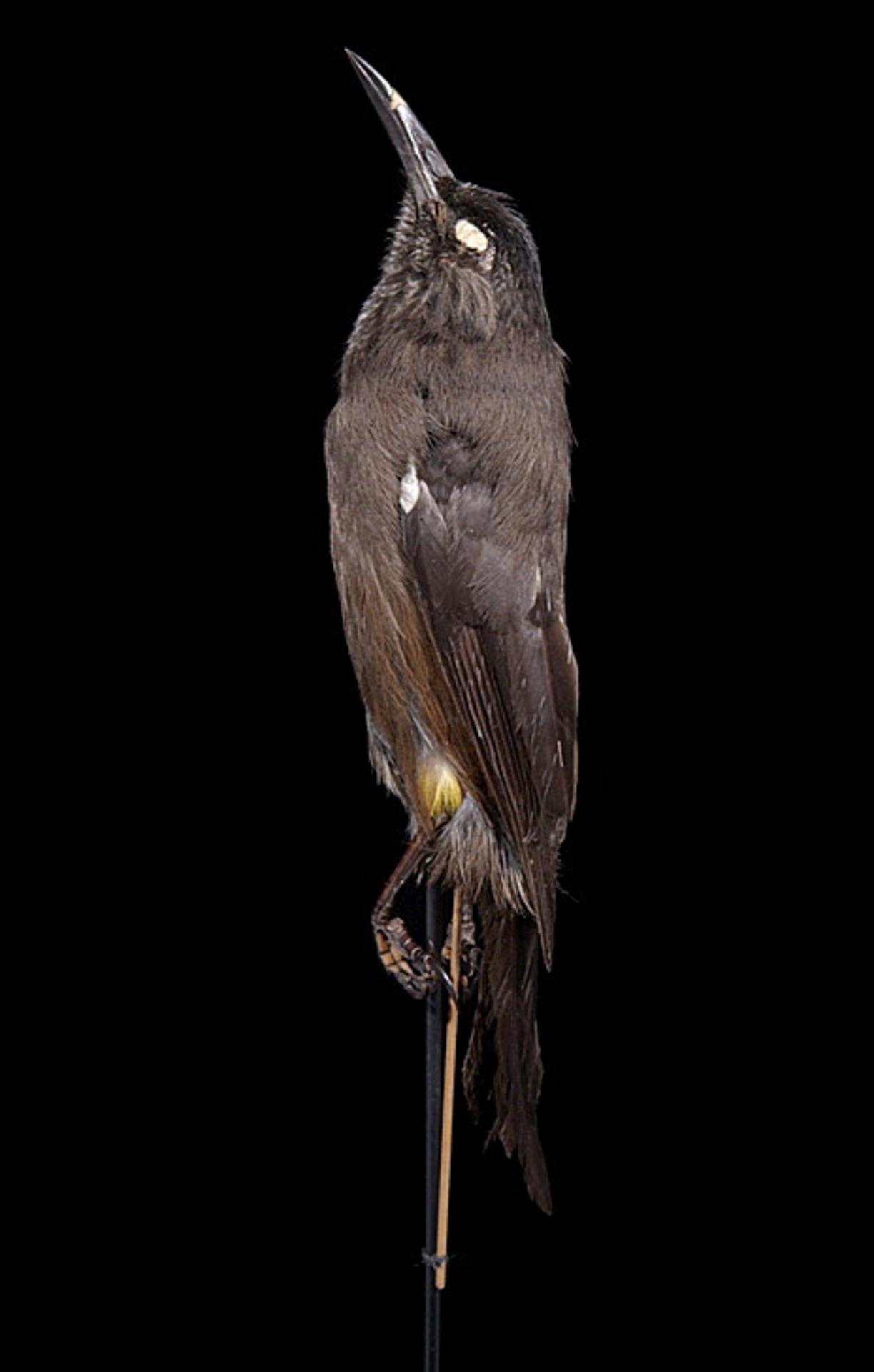 RMNH.AVES.110028 | Moho braccatus Cassin, 1858