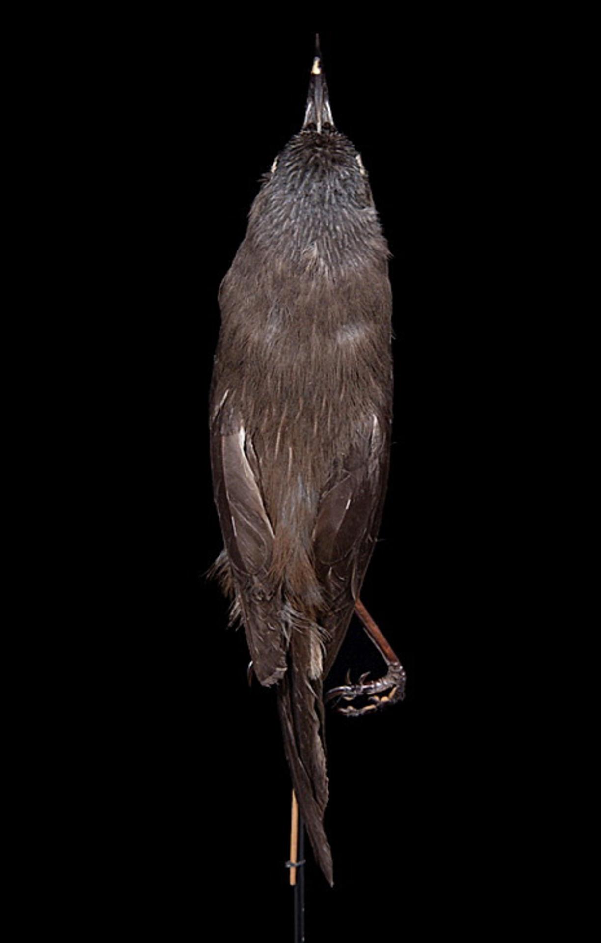 RMNH.AVES.110028   Moho braccatus Cassin, 1858